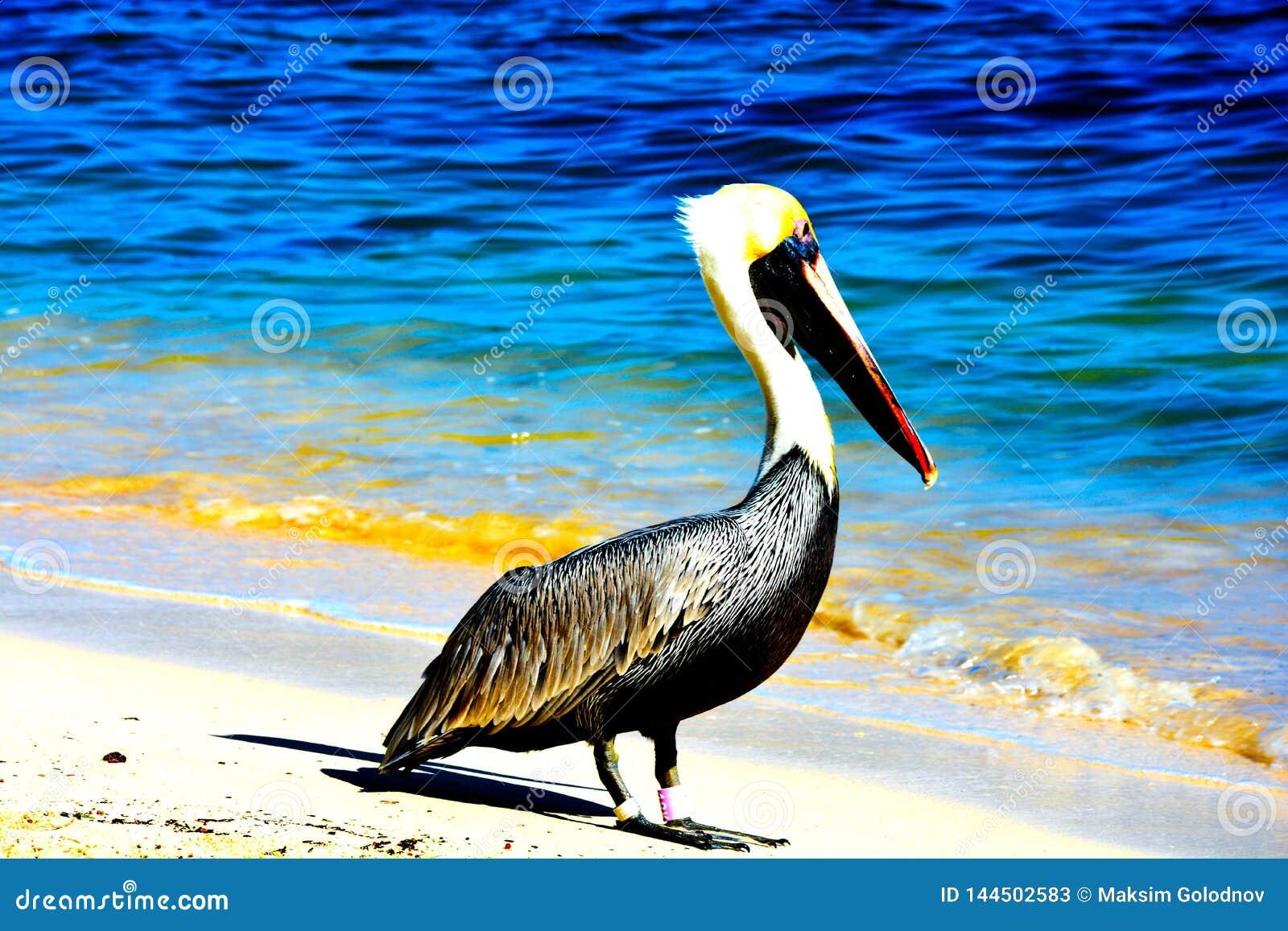 Pelicano na praia com vista para o mar