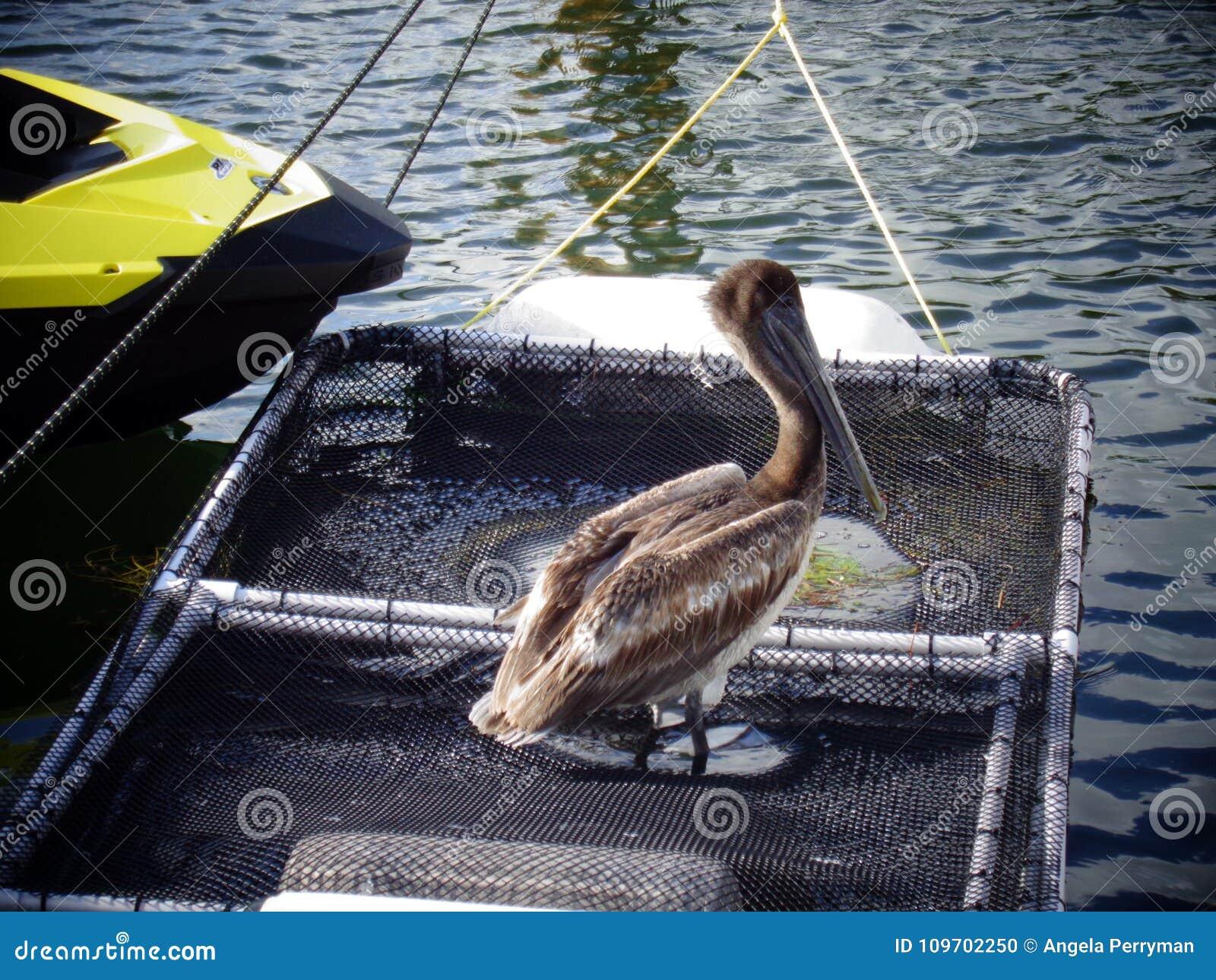 Pelicano na rede em um porto