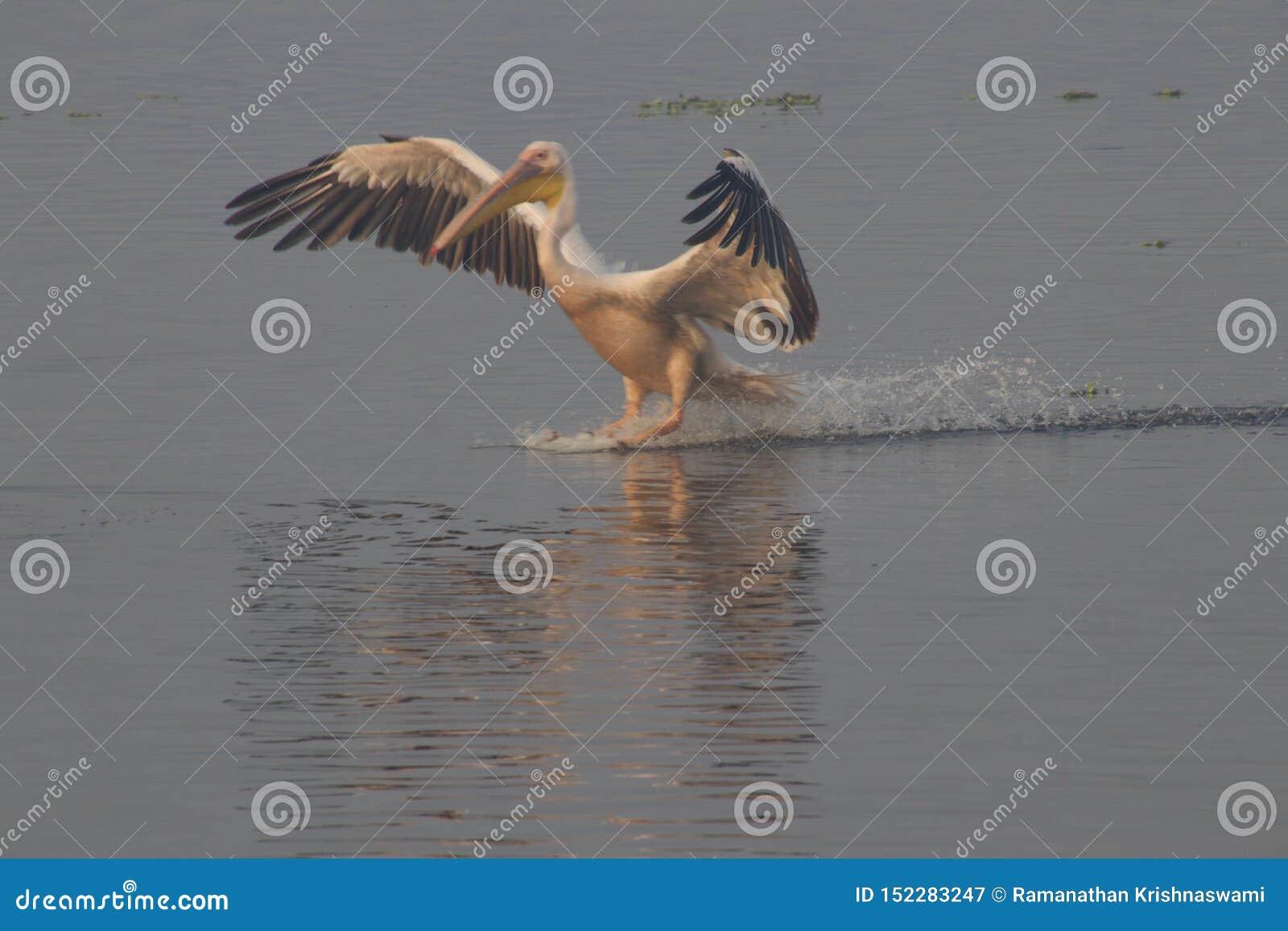 Pelicano no santuário de animais selvagens