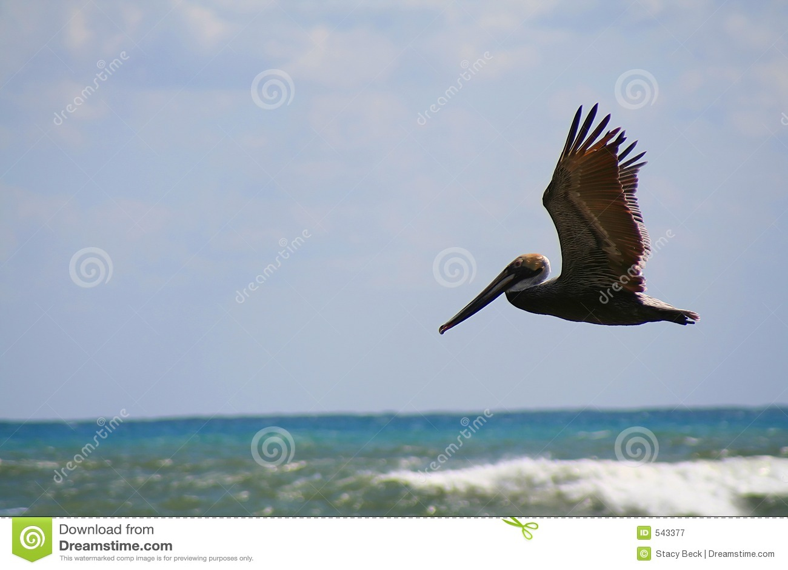 Pelicano no vôo
