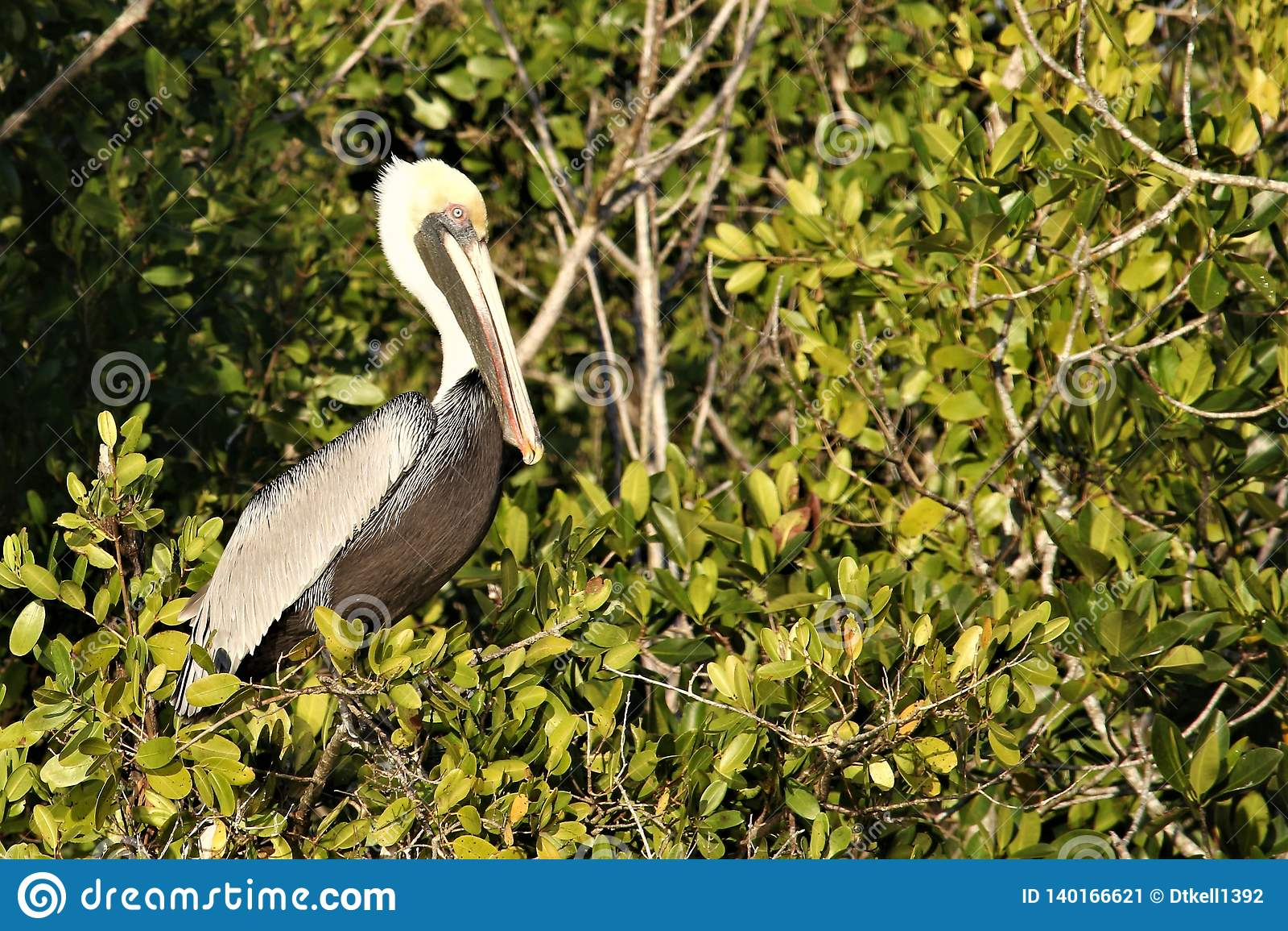Pelicano nos marismas de Florida