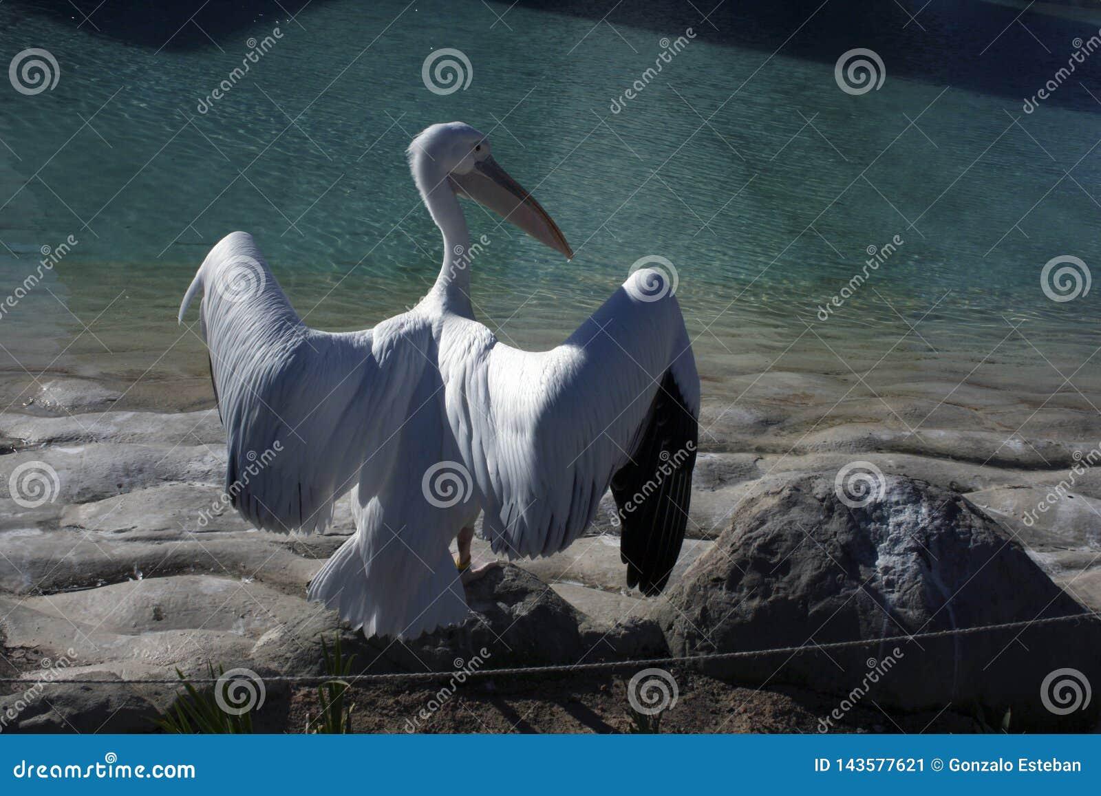 Pelicano pronto para voar