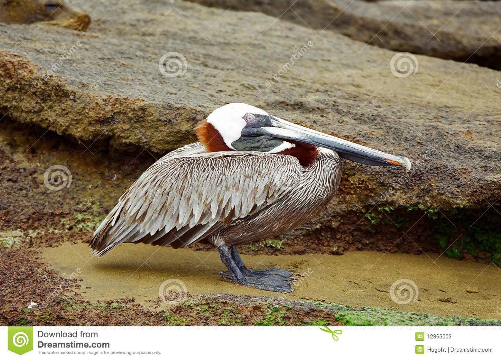 Pelicano que descansa na costa rochosa