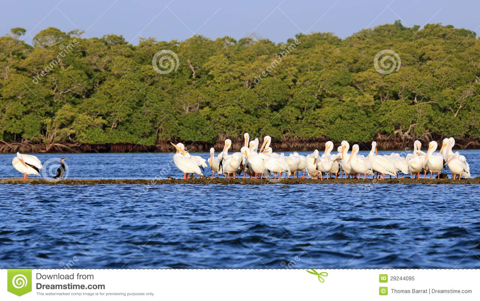 Download Pelicanos Brancos Americanos Imagem de Stock - Imagem de melhor, exemplo: 29244095