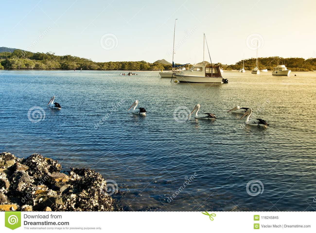 Pelicans and boats on Myall Lake