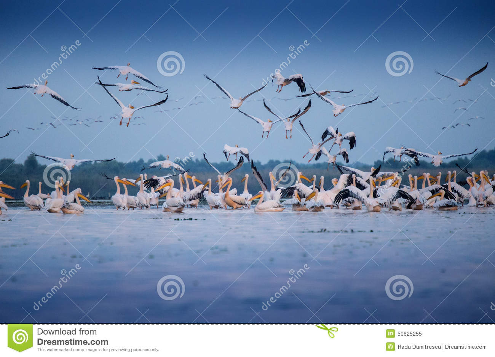 Download Pelicans from Danube Delta stock image. Image of pelicans - 50625255