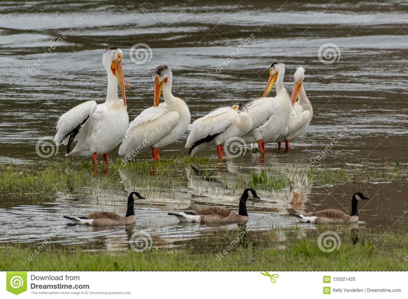 Pelicans and Ducks in Shallow Lake