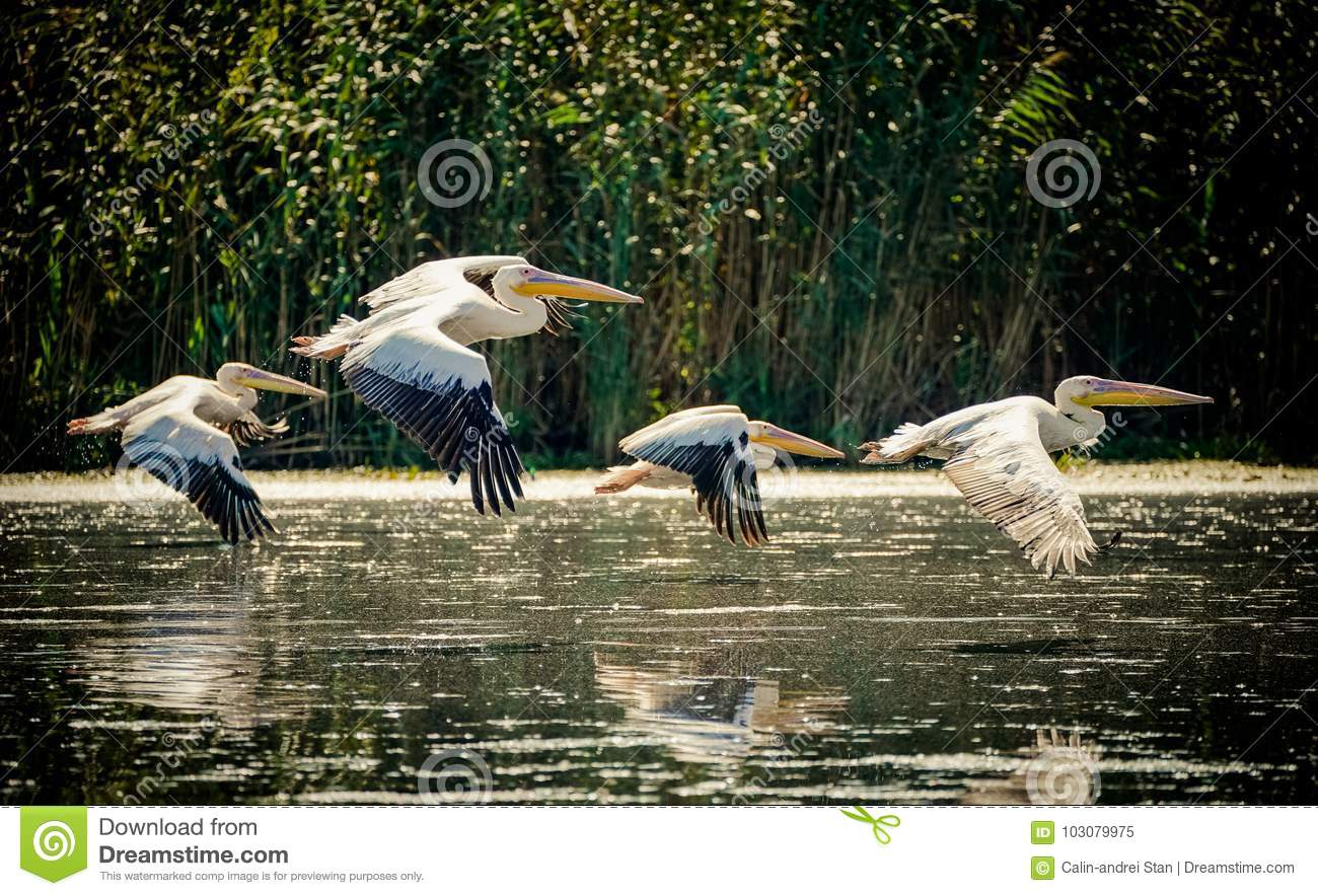 Pelicans flying in the Danube Delta, Romania