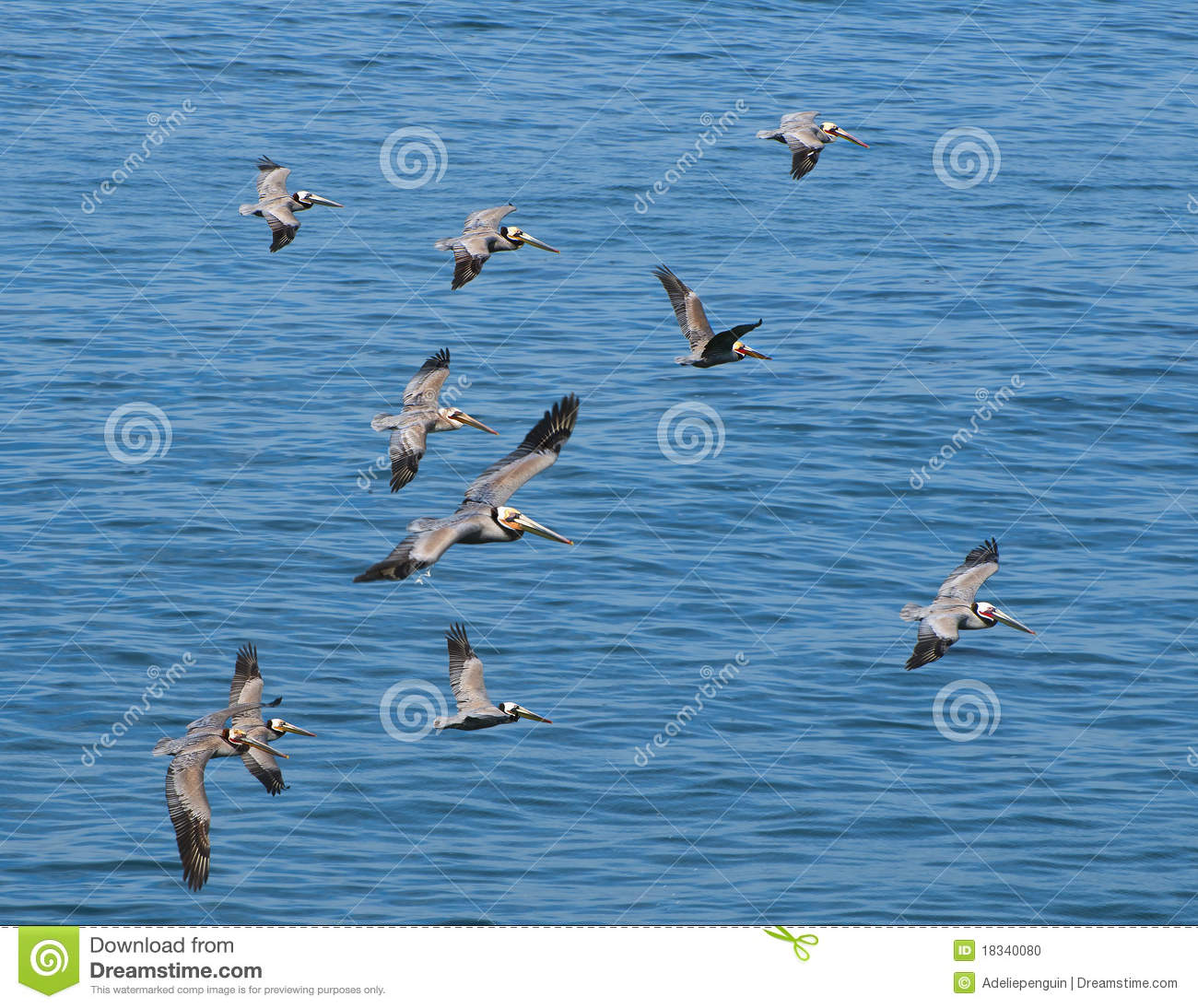 Download Pelicans Flying, LaJolla California Stock Photo - Image of water, pelicans: 18340080