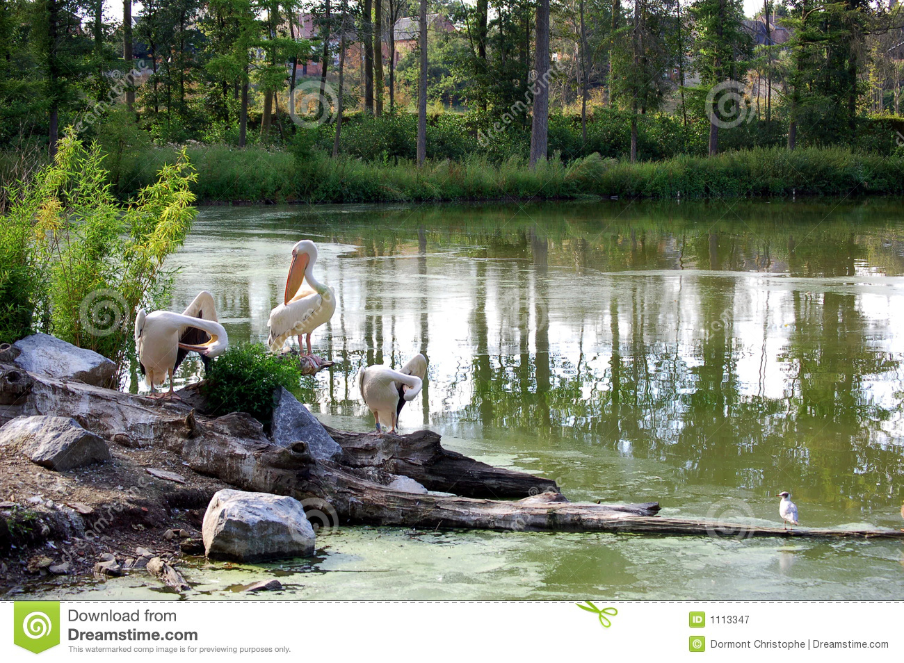 Pelicans in the lake
