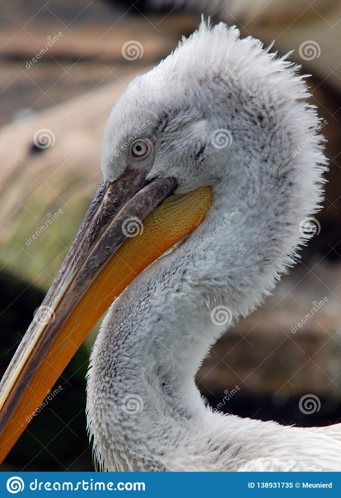 Pelicans are a large water birds.