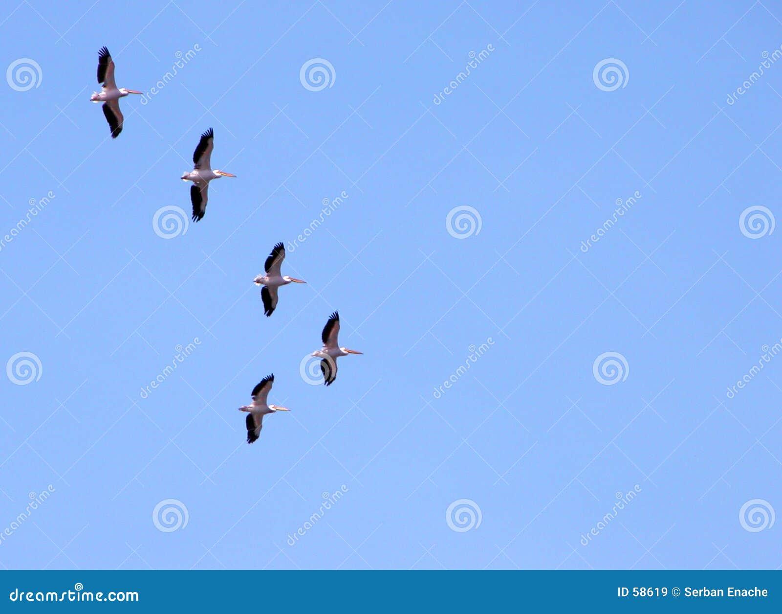 Pelicans migrating