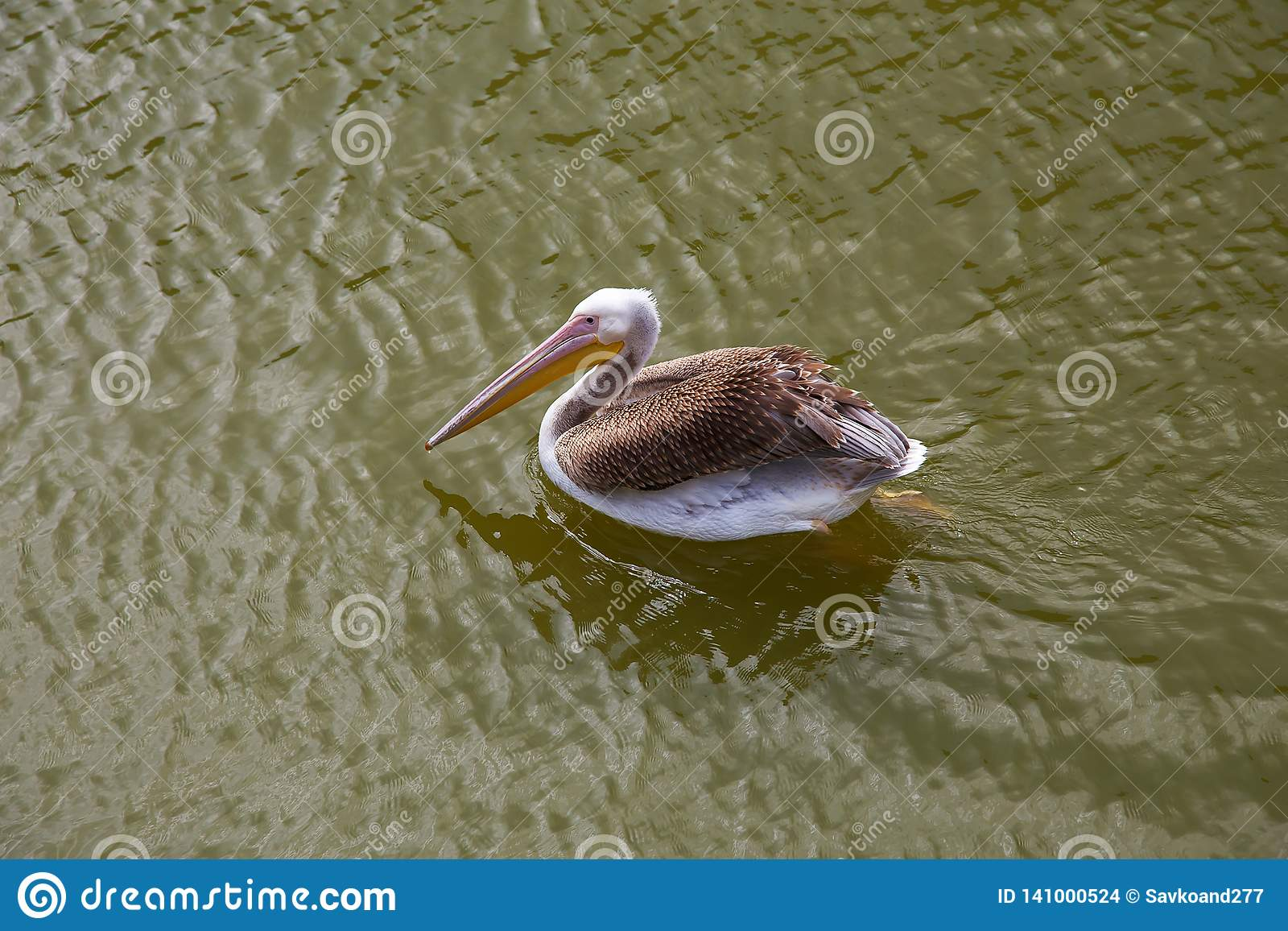 Pelicans swims and catches fish