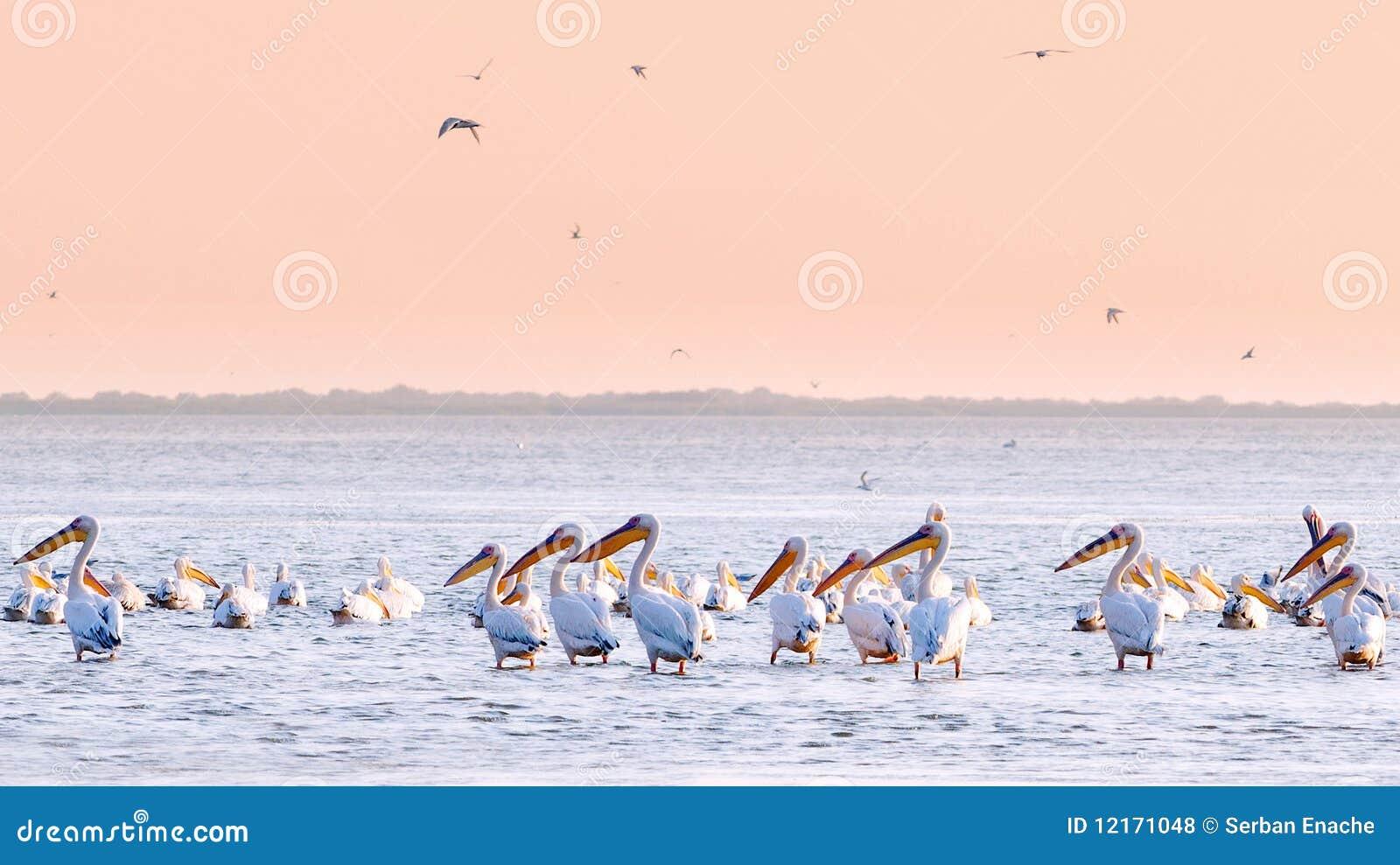 Pelicans in water