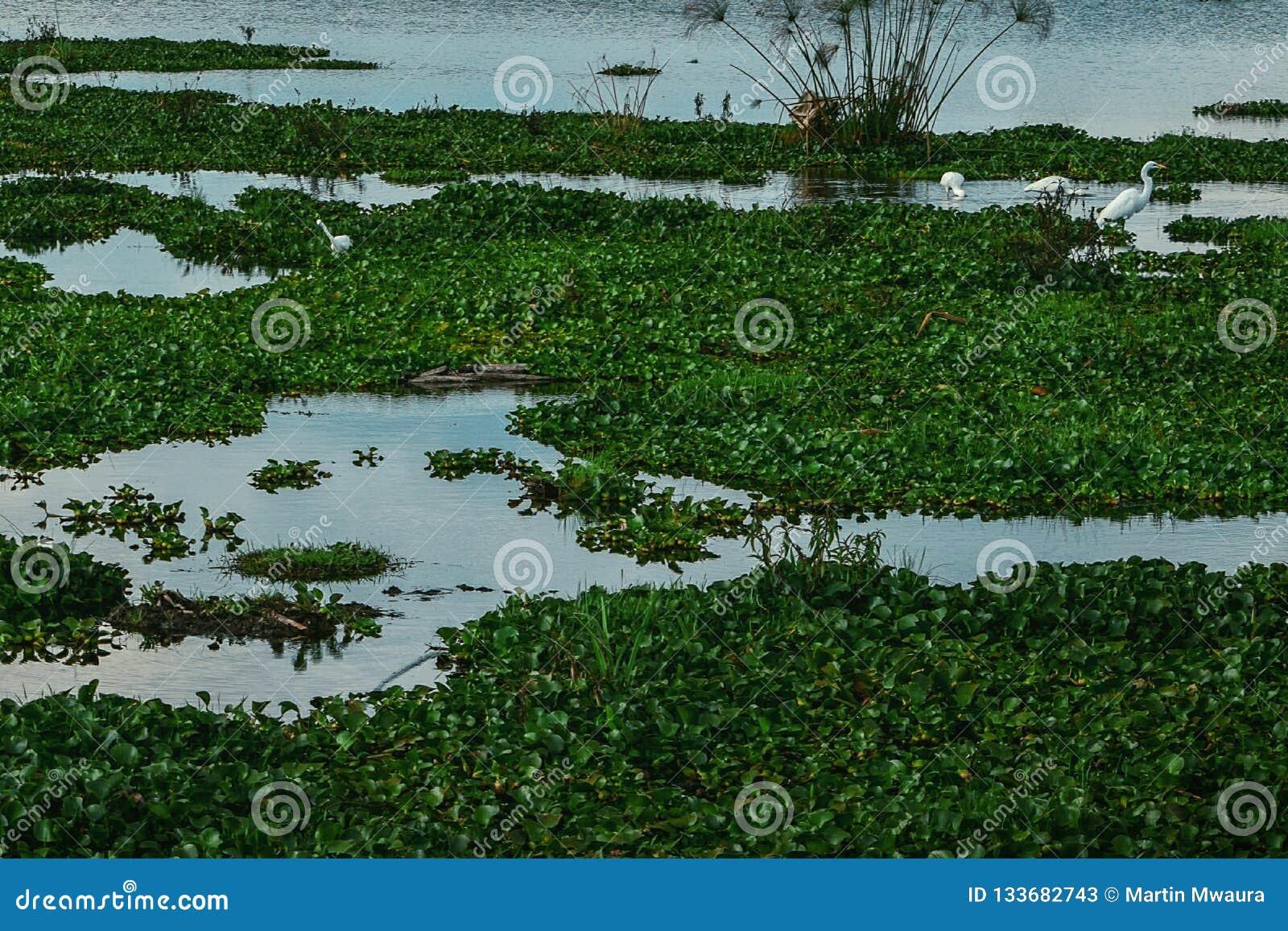 Pelicans in the water hyacinth in Lake Naivasha