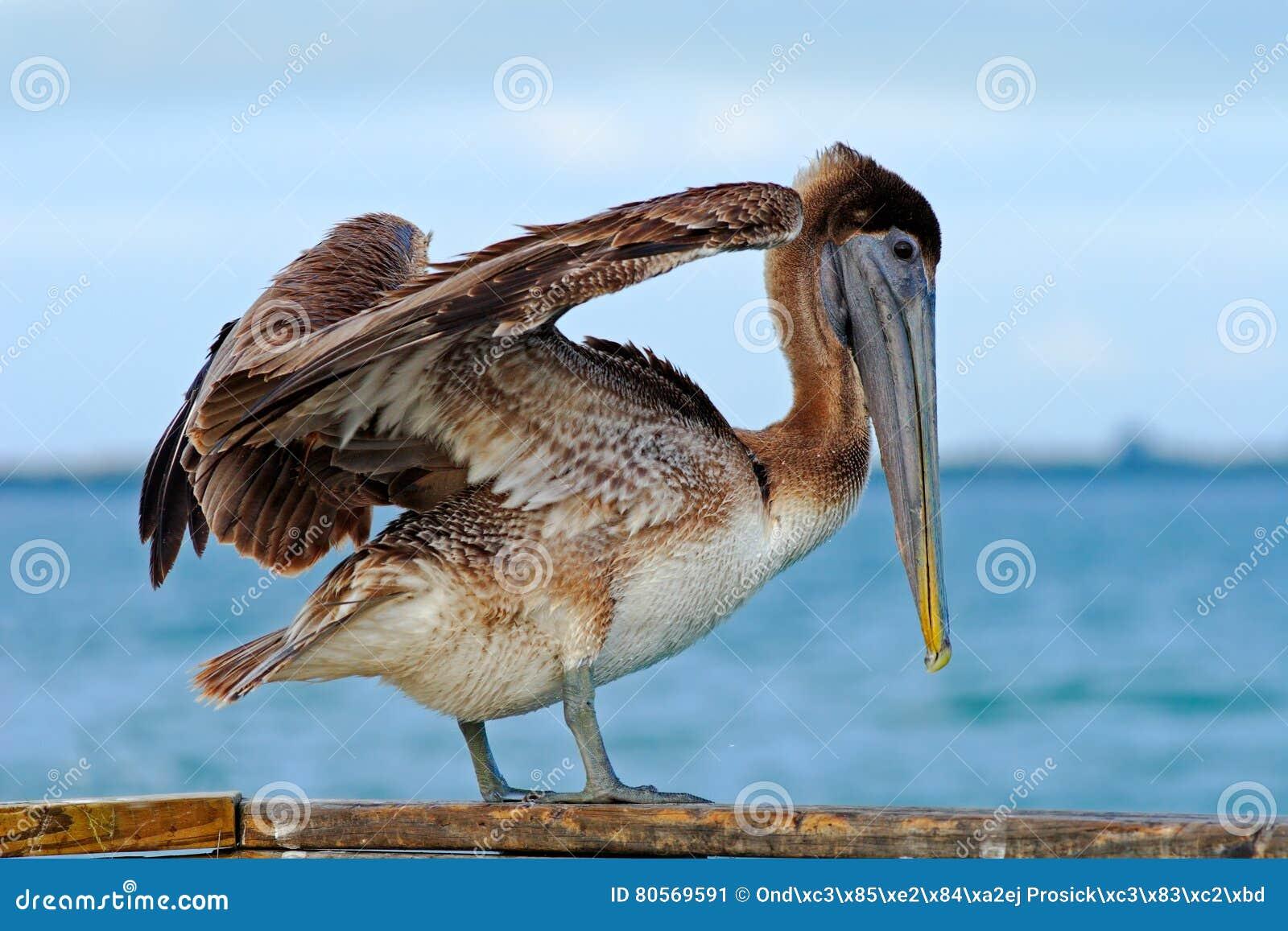Pelikaan die in het blauwe water beginnen Het bruine Pelikaan bespatten in water vogel in het donkere water, aardhabitat, Florida