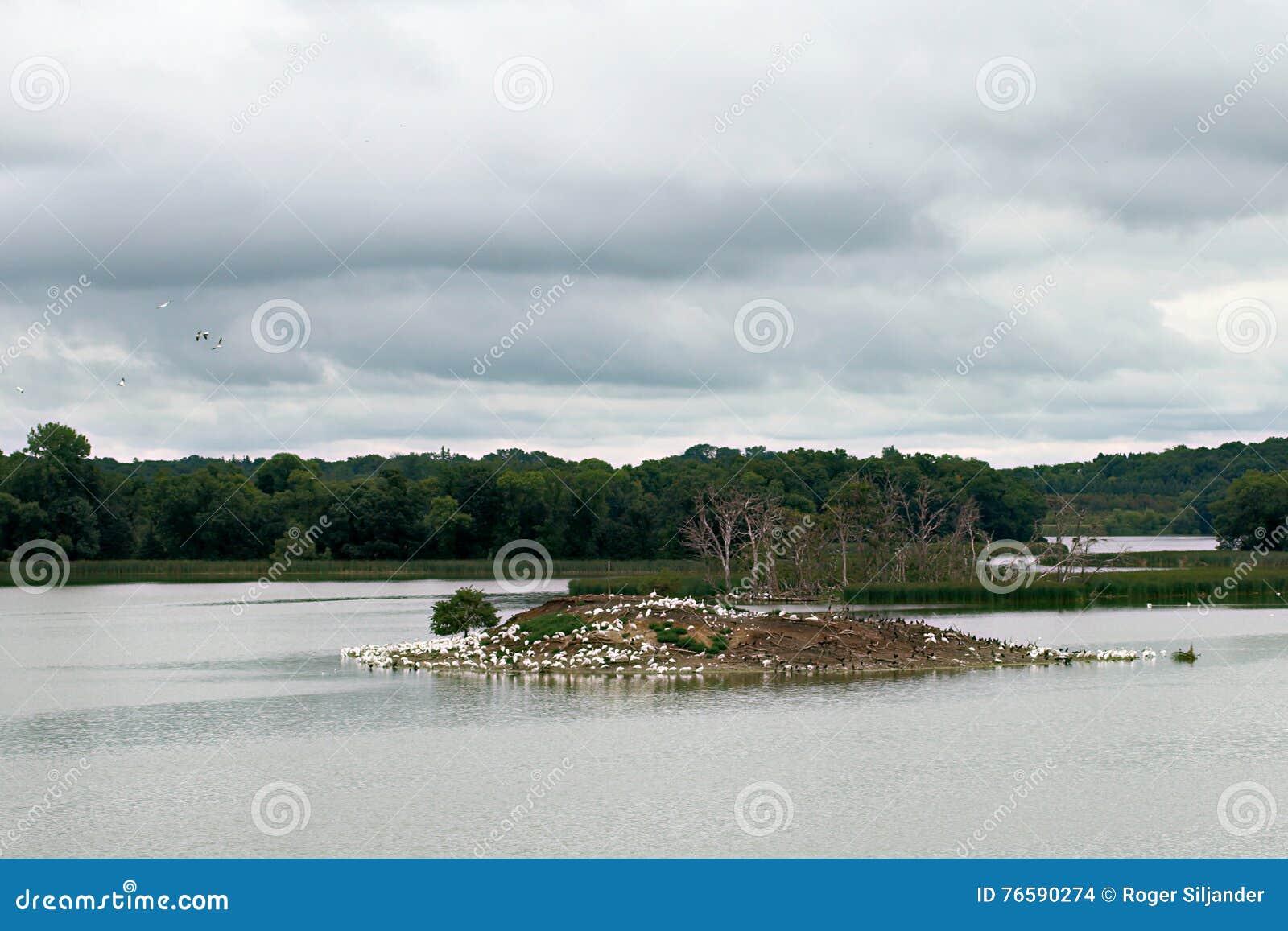 Pelikaan reiger en aalscholverroekenkolonie op het eiland van het duifmeer stock foto - In het midden eiland grootte ...