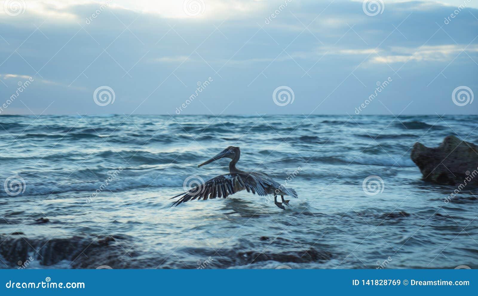 Pelikaanvogel die Overzeese van Mexico Oceaanzonsopgang vliegen