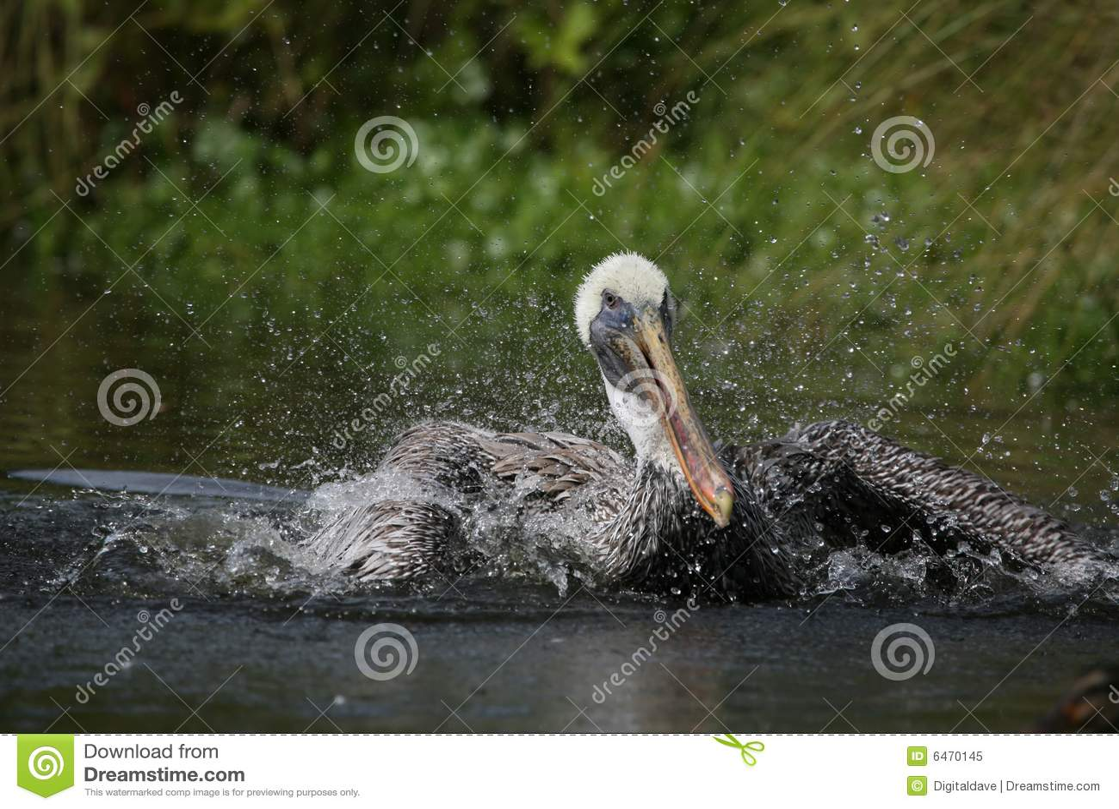 Pelikan brown