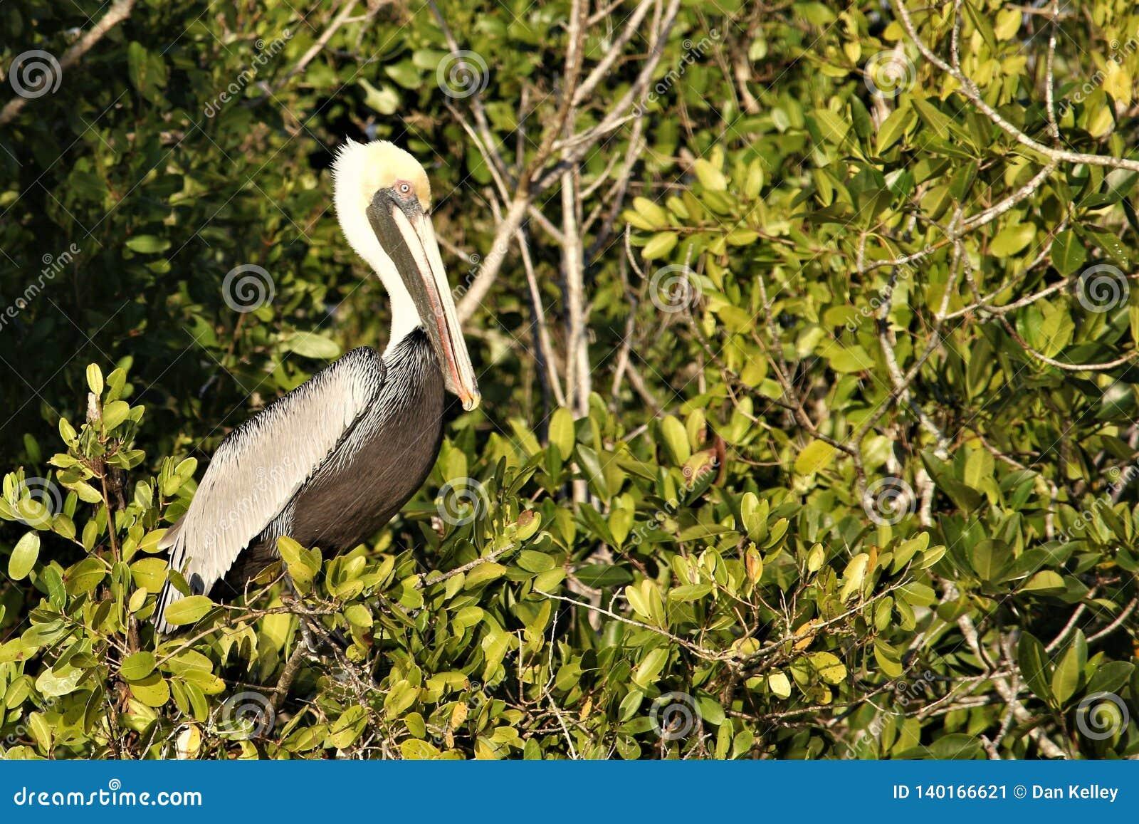 Pelikan in den Florida-Sumpfgebieten