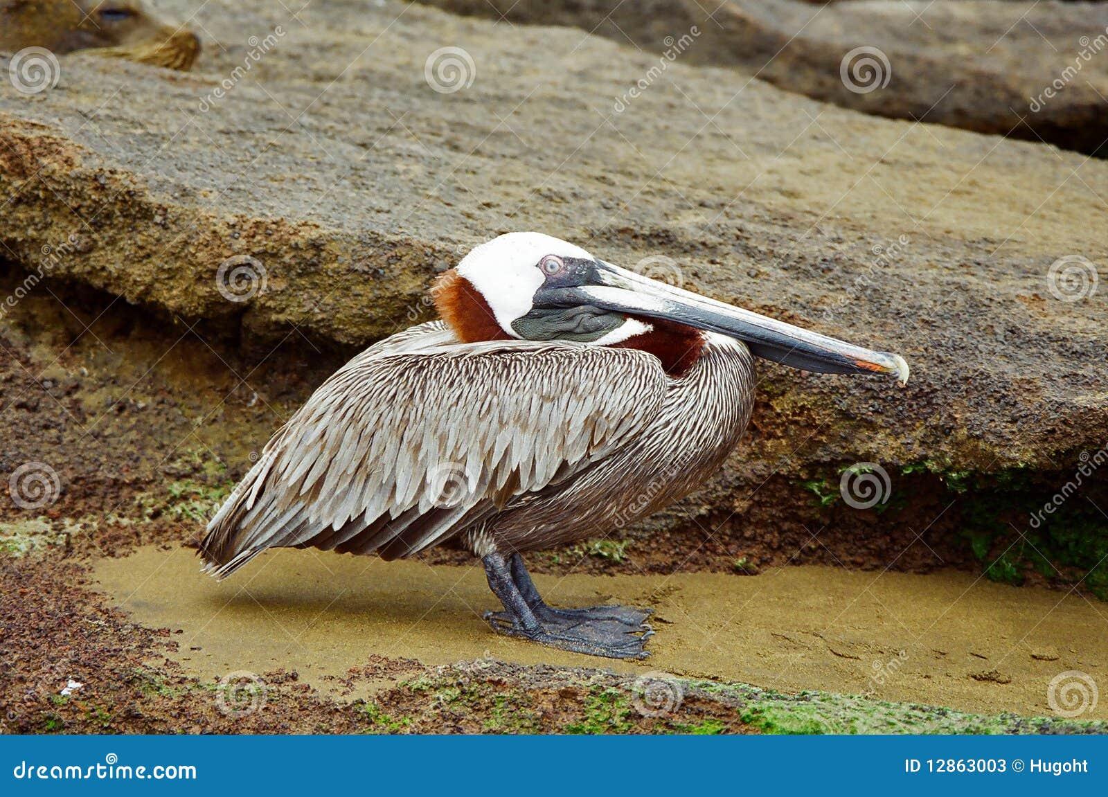Pelikan, der auf felsigem Ufer stillsteht