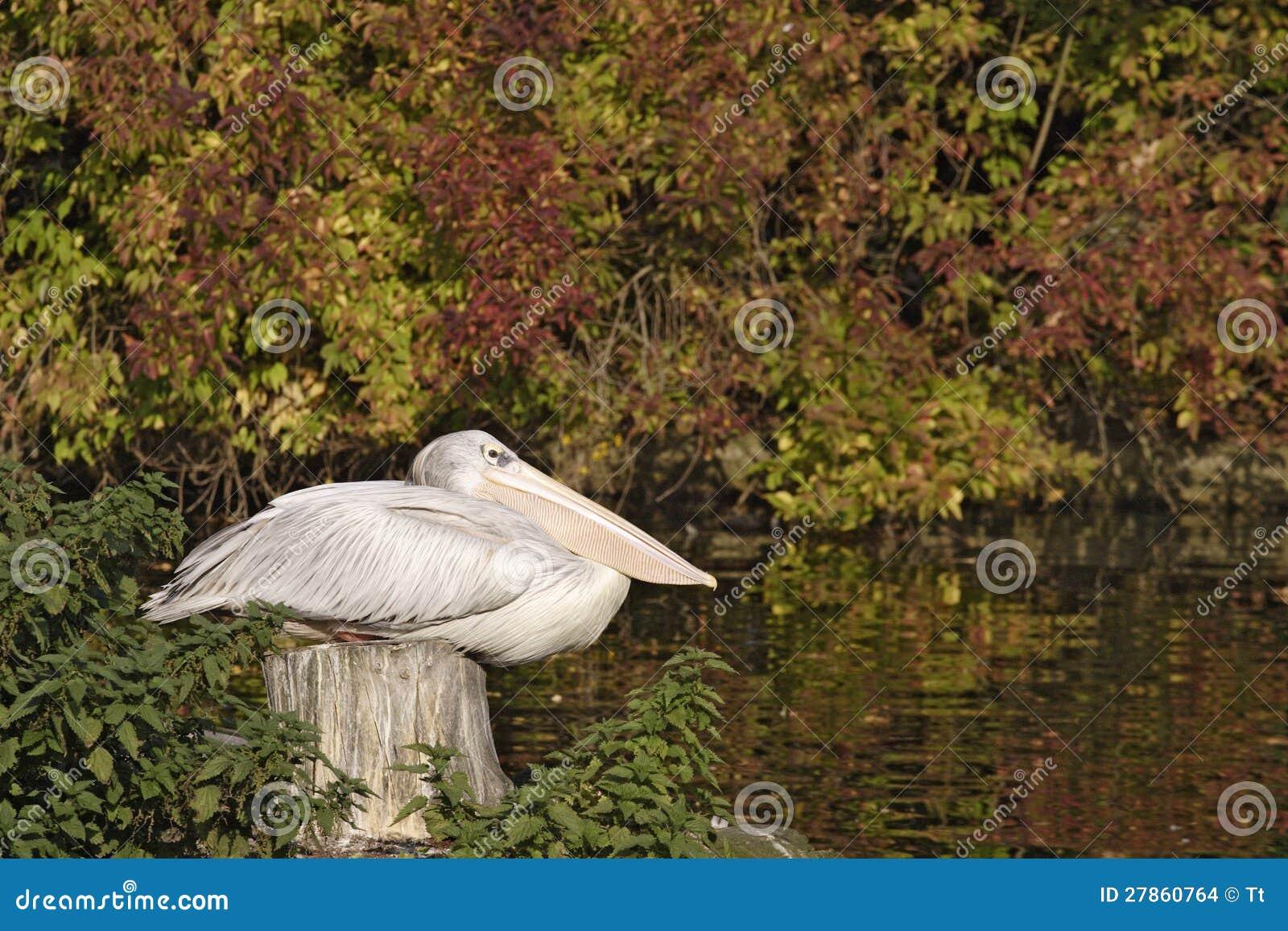 Pelikan dobrego odpoczynek