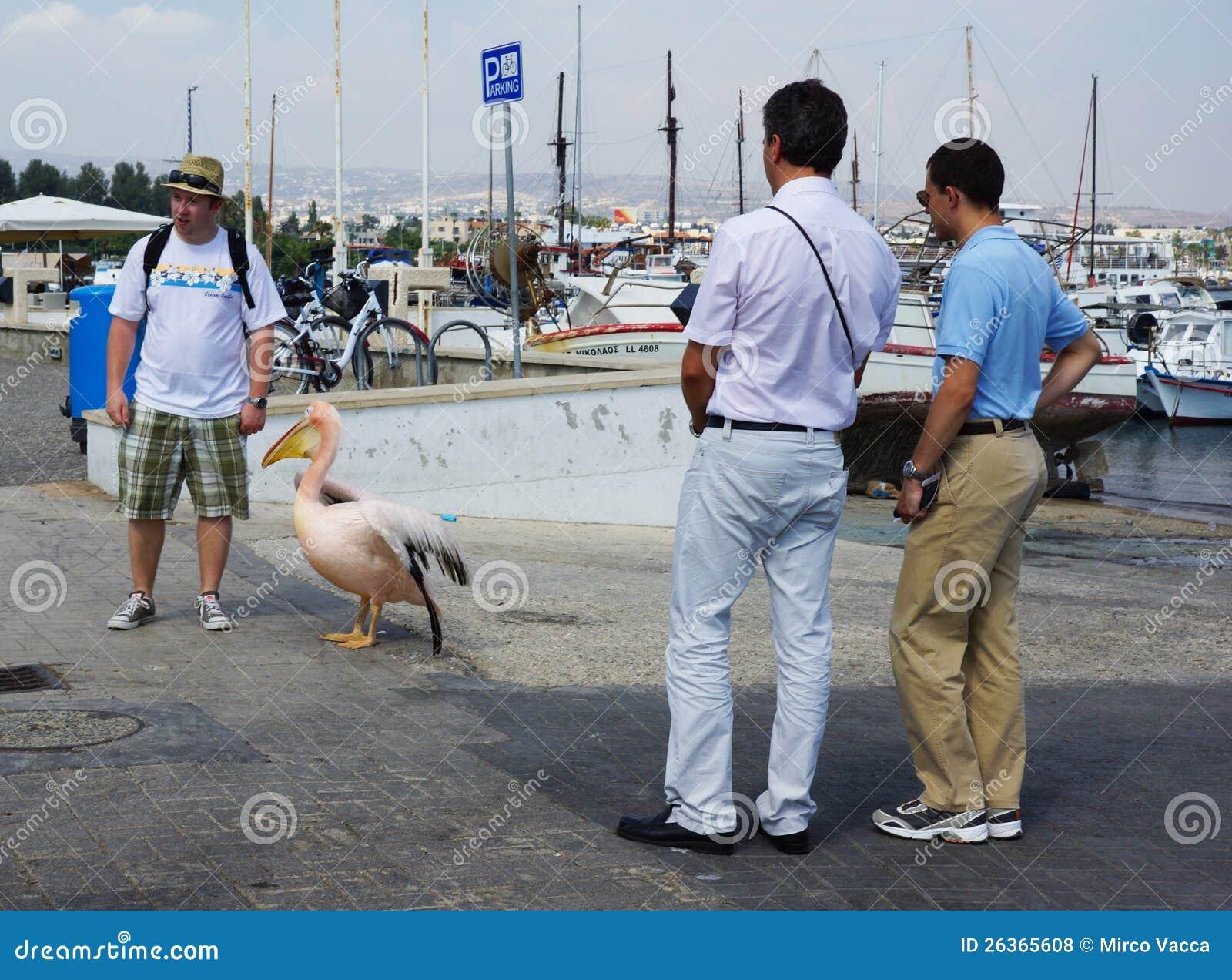 Pelikan am Hafen von Paphos