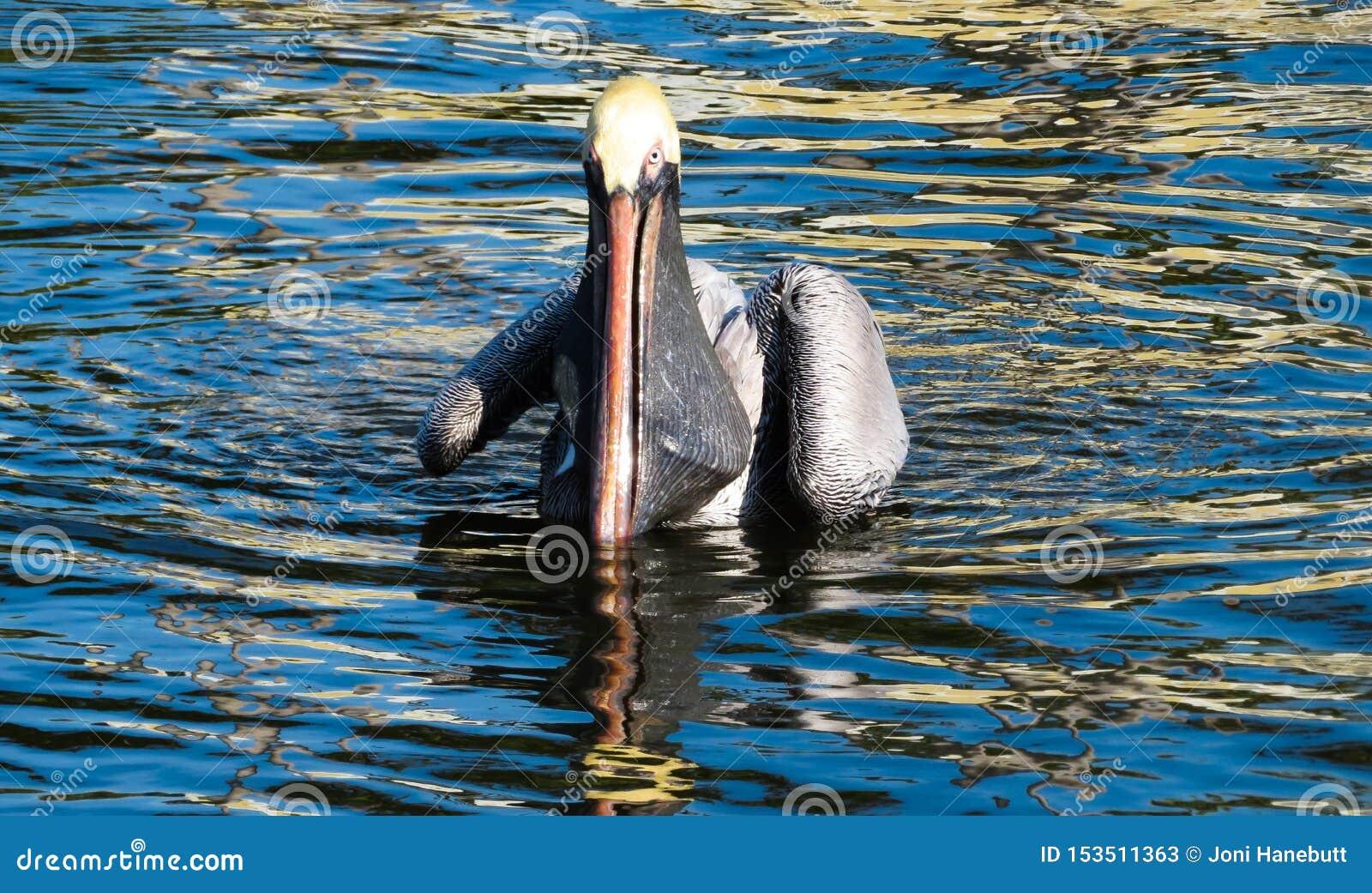 Pelikan im Wasser, nachdem ein Fisch gefangen worden ist