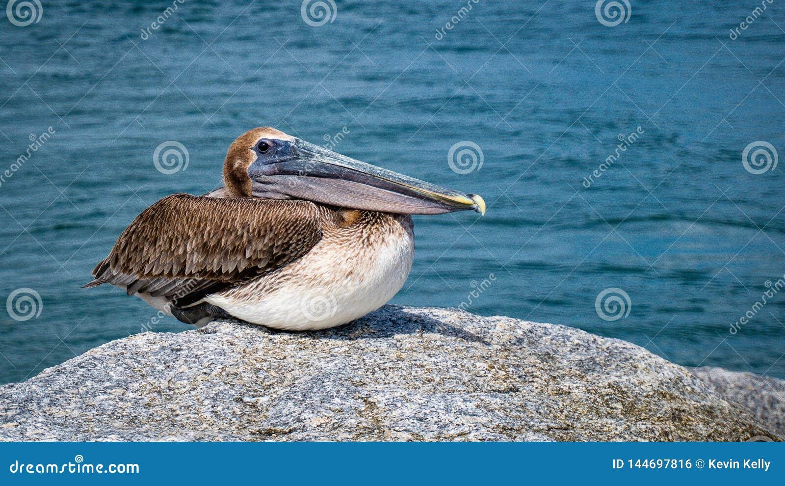 Pelikan Jupiter Inlet Atlantic Ocean Florida