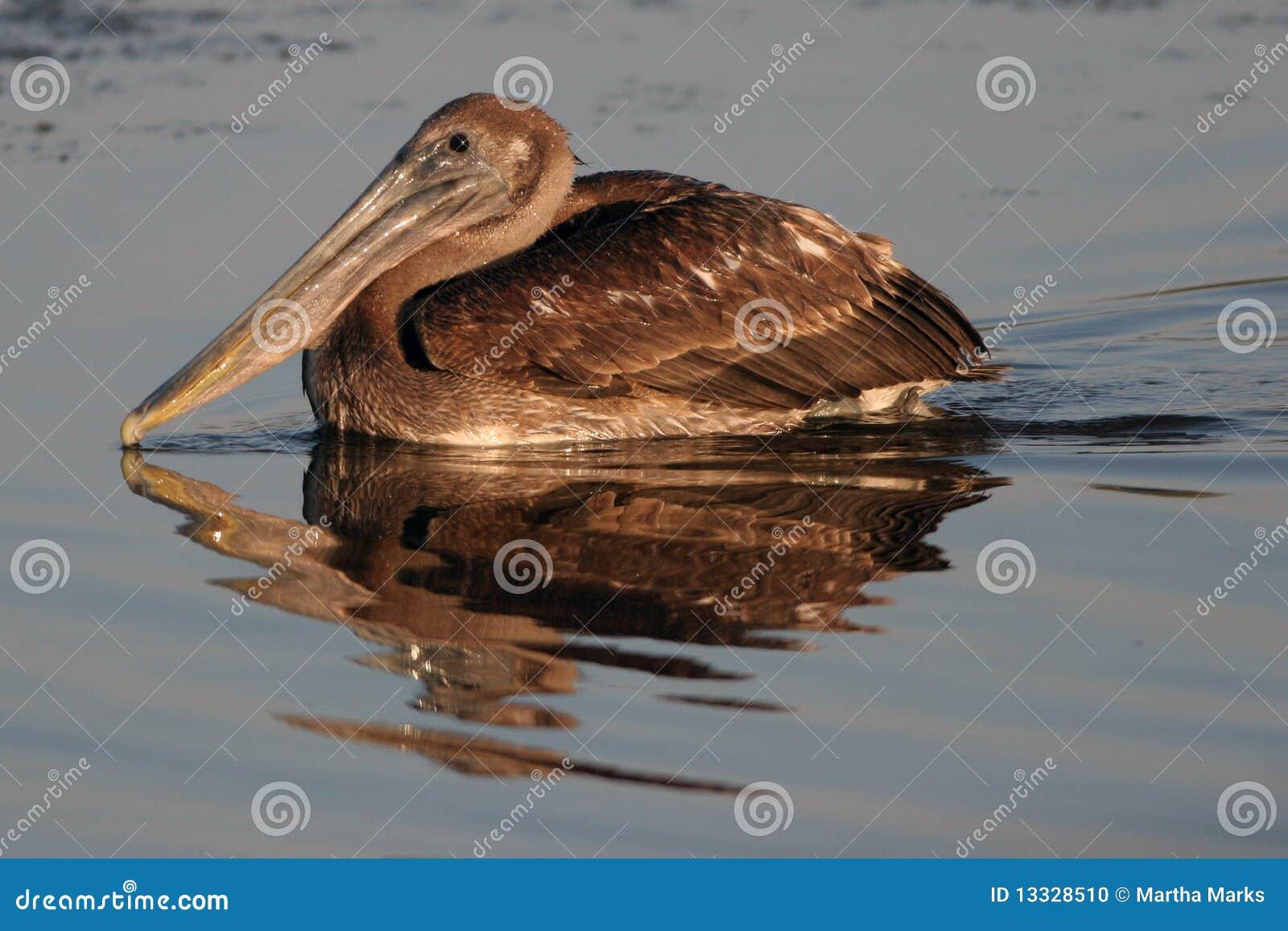 Pelikan occidentalis pelecanus pelikan