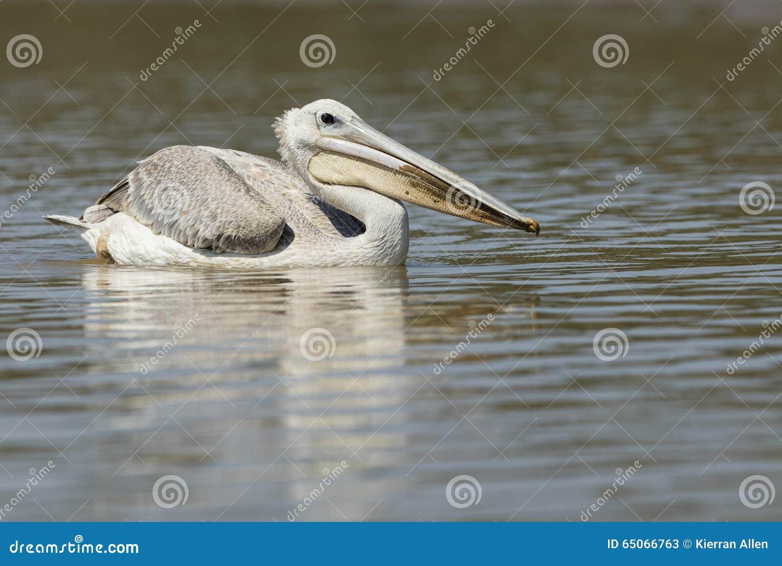 Pelikan på vatten Sydafrika