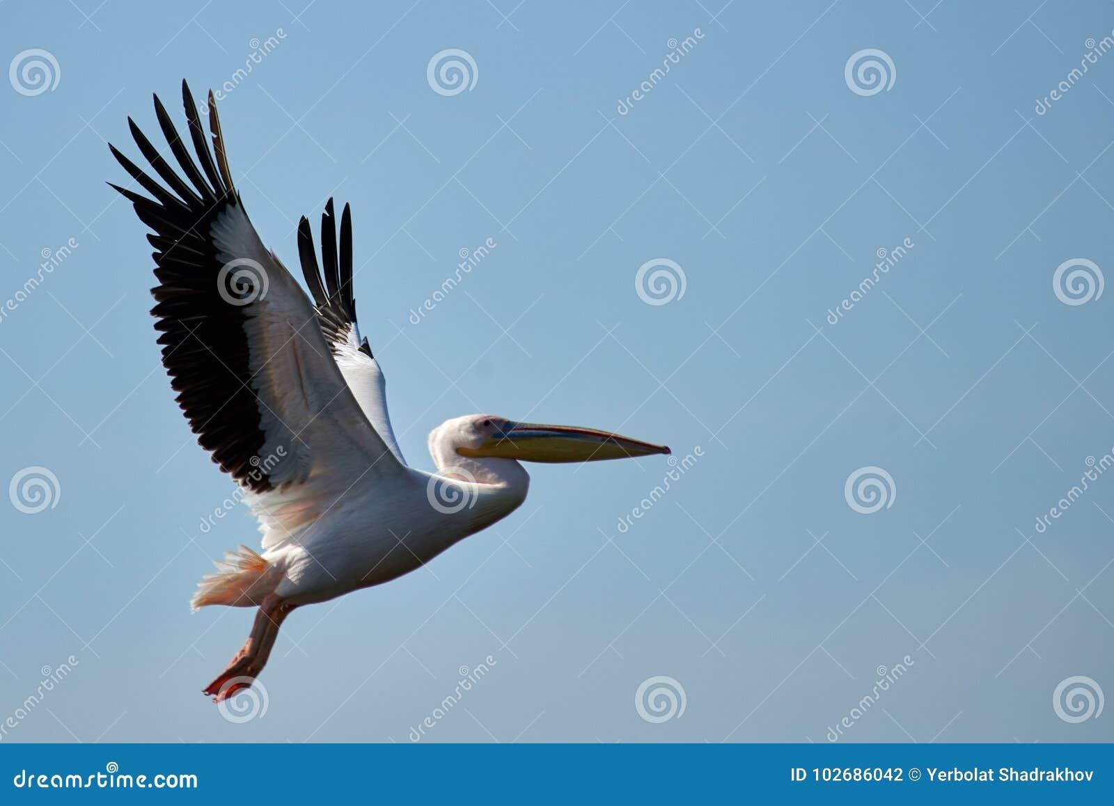 Pelikan Pelikane sind eine Klasse von großen Wasservögeln, die den Familie Pelecanidae bildet Sie werden durch einen langen Schna