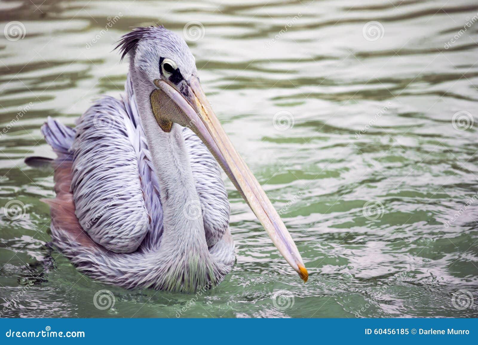 Pelikan pojedynczy