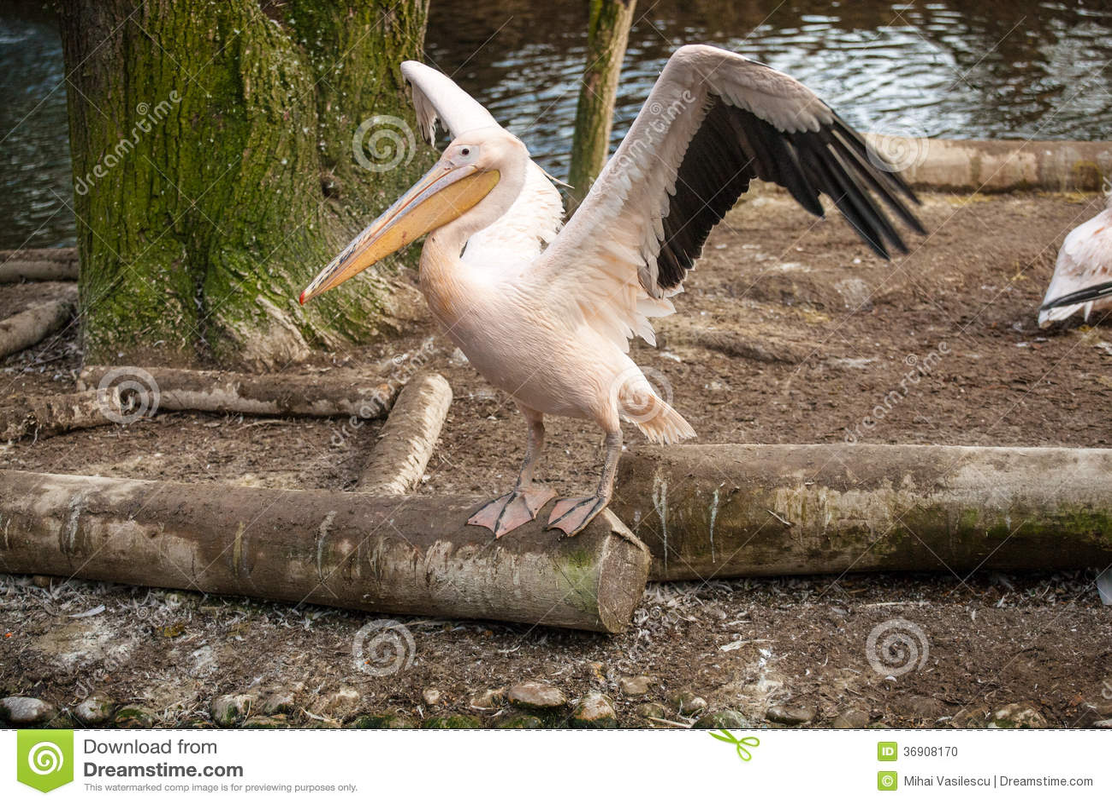 Pelikan przy zoo