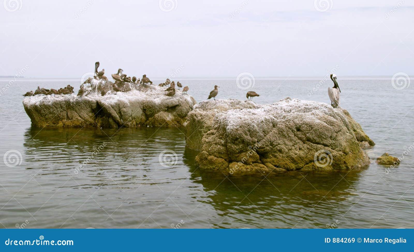 Pelikan skał ptaki