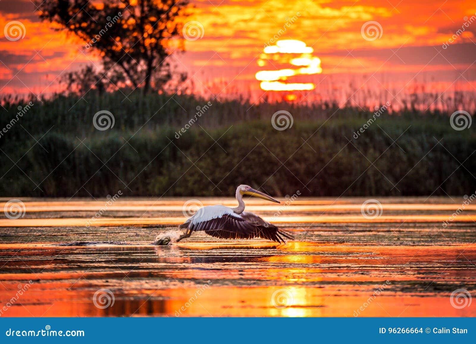 Pelikan som flyger på soluppgång i Donaudeltan, Rumänien