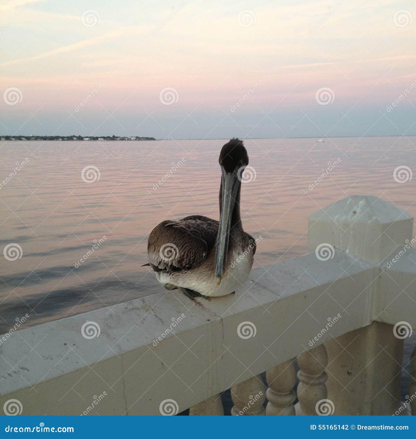 Pelikan som Precariously sätta sig