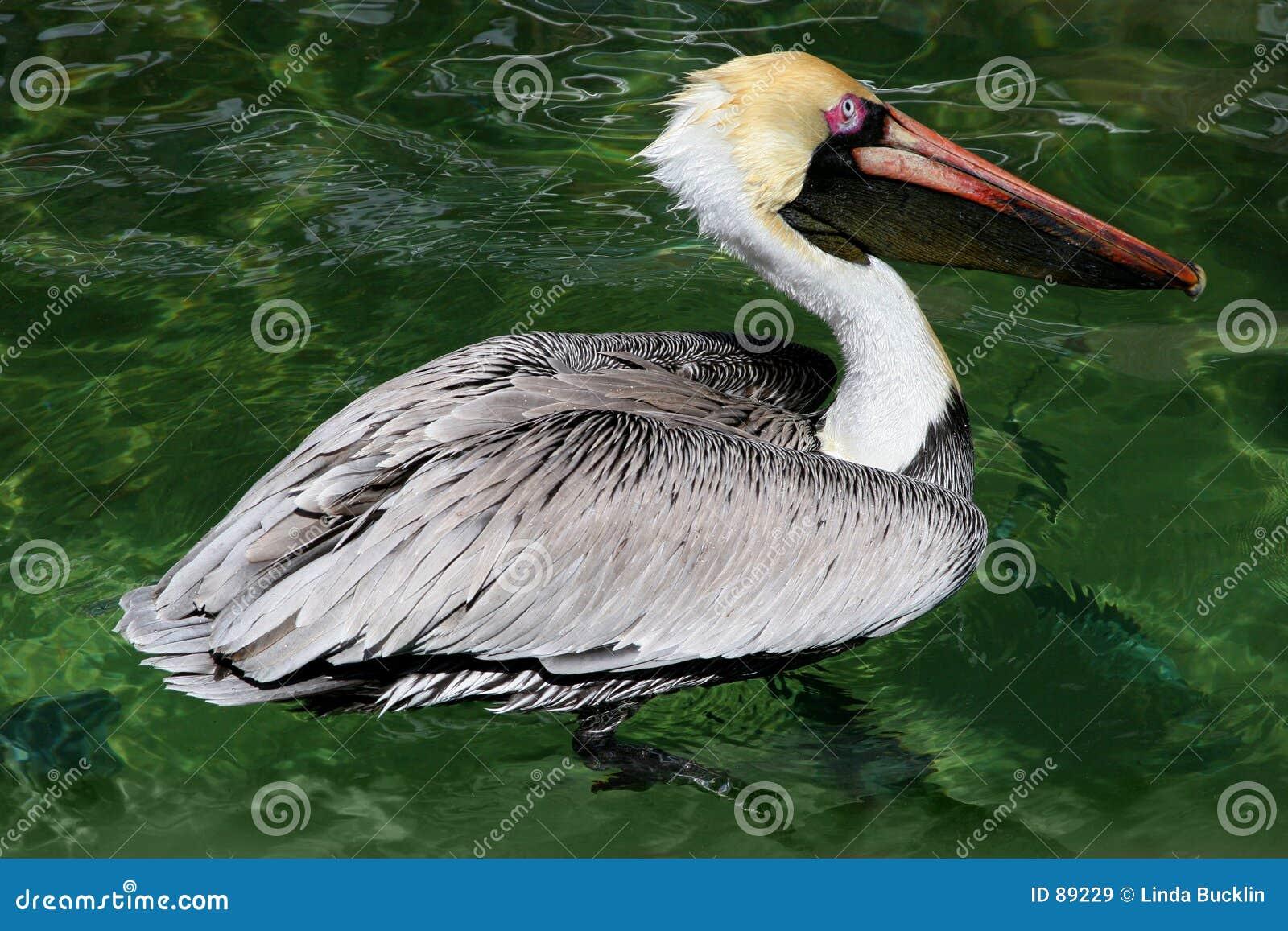 Pelikan wody