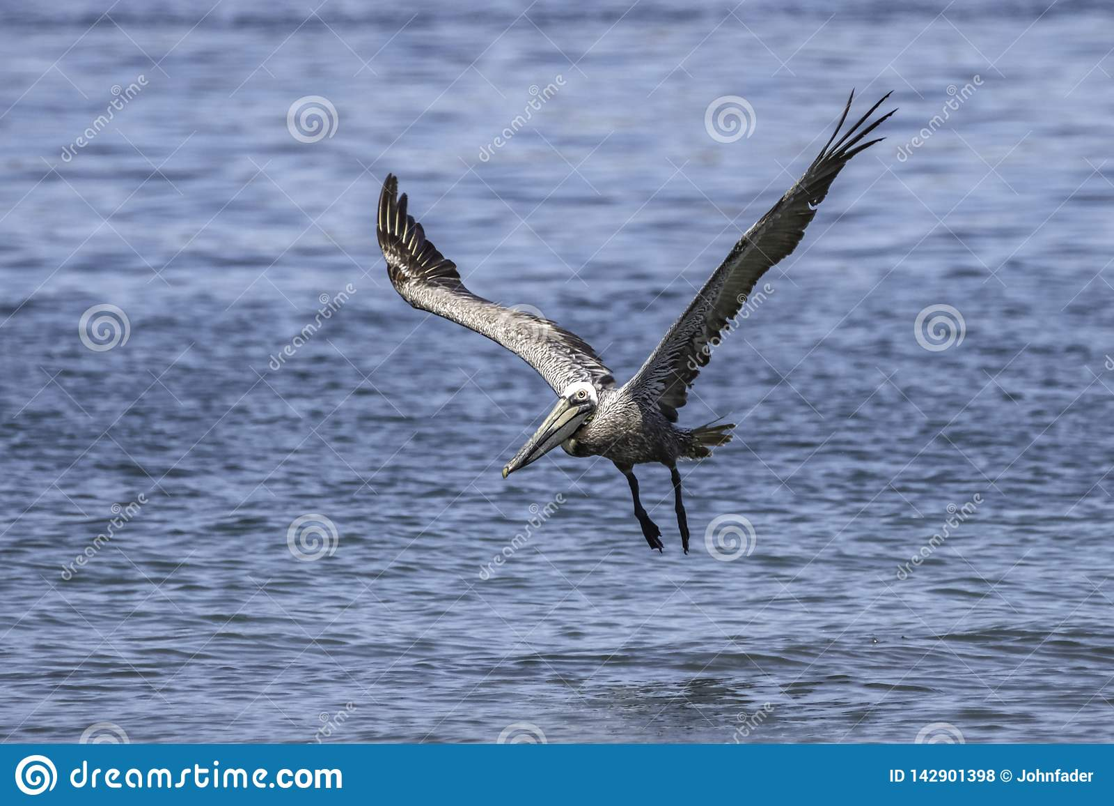 Pelikan zdejmował od wody