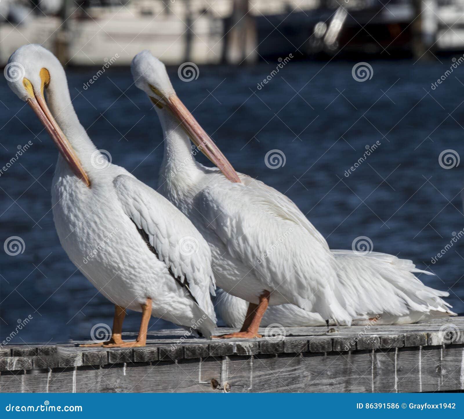 Pelikana amerykański biel