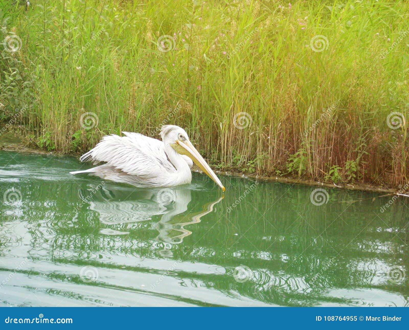Pelikana dopłynięcie w rzece