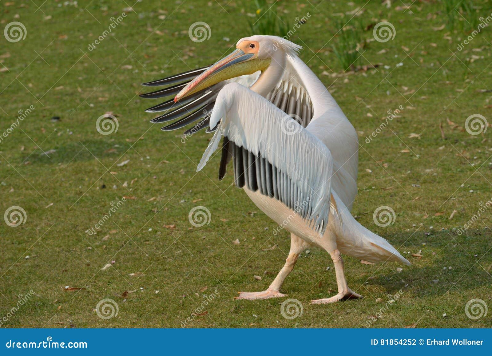 Pelikana odprowadzenie