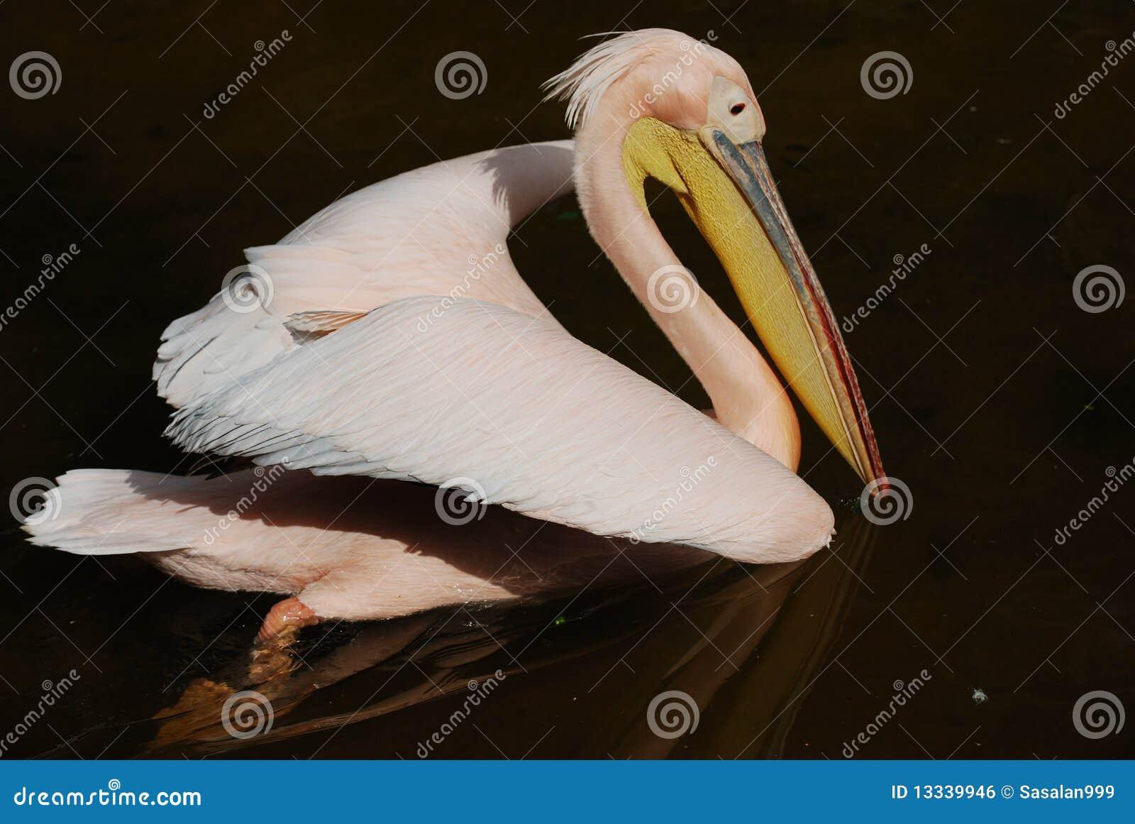 Pelikana staw