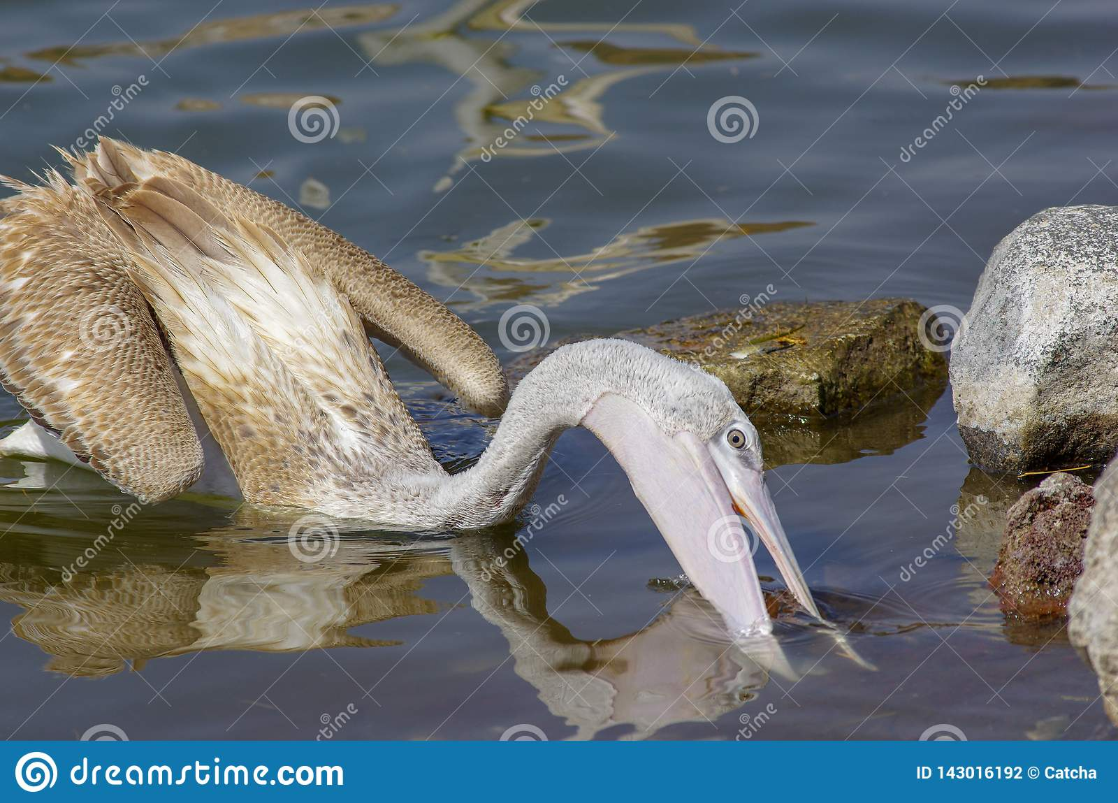 Pelikane, die Fische nahe See Hora, Äthiopien fangen