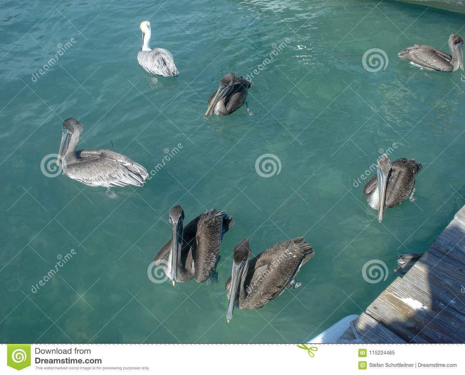 Pelikane schwimmen im Ozean