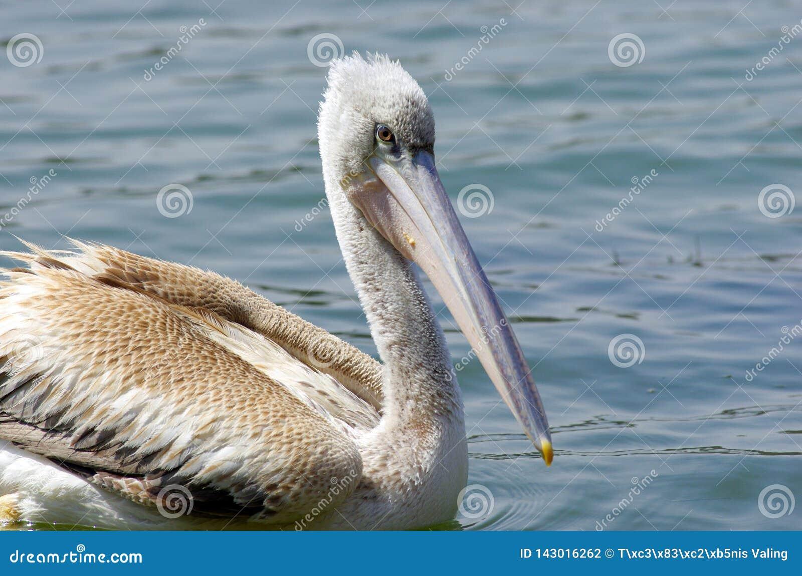 Pelikanen die vissen vangen dichtbij Meer Hora, Ethiopië