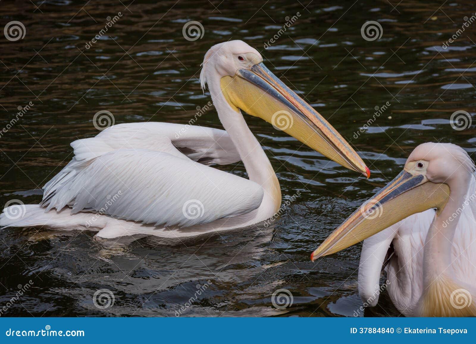 Pelikanen in water
