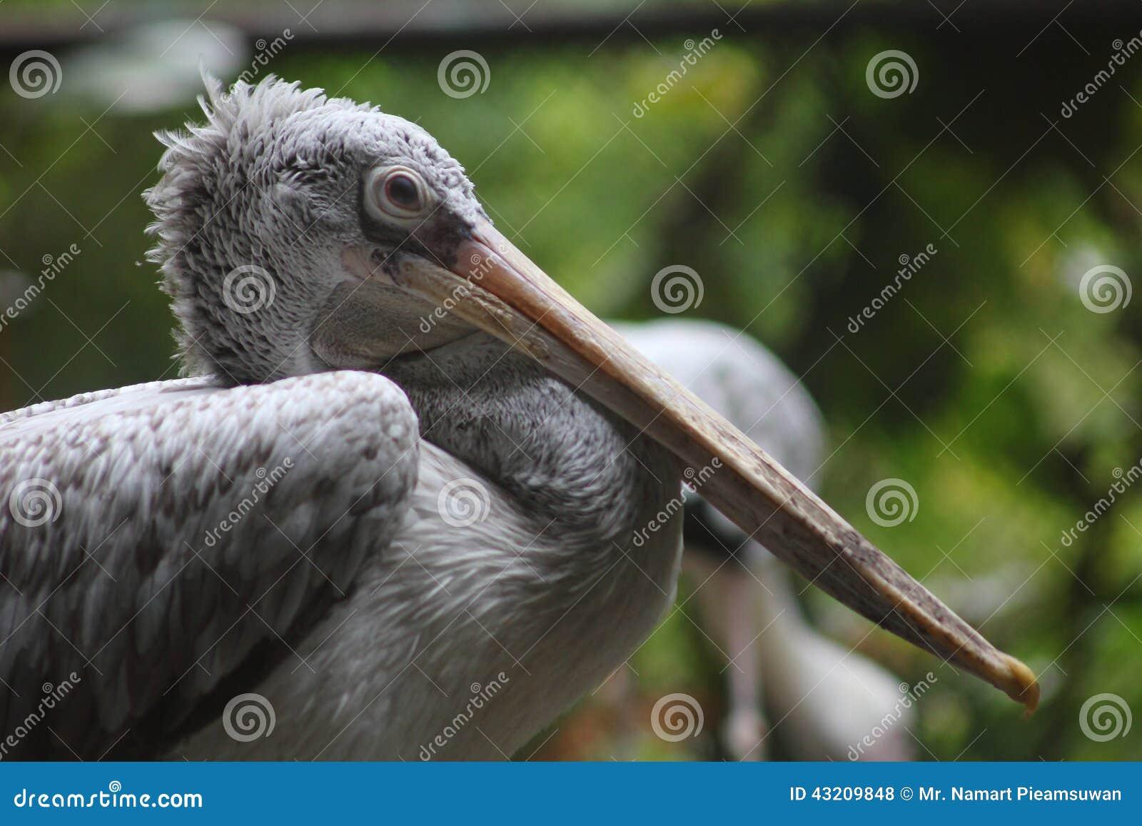 Download Pelikanfågel arkivfoto. Bild av natur, vatten, closeup - 43209848