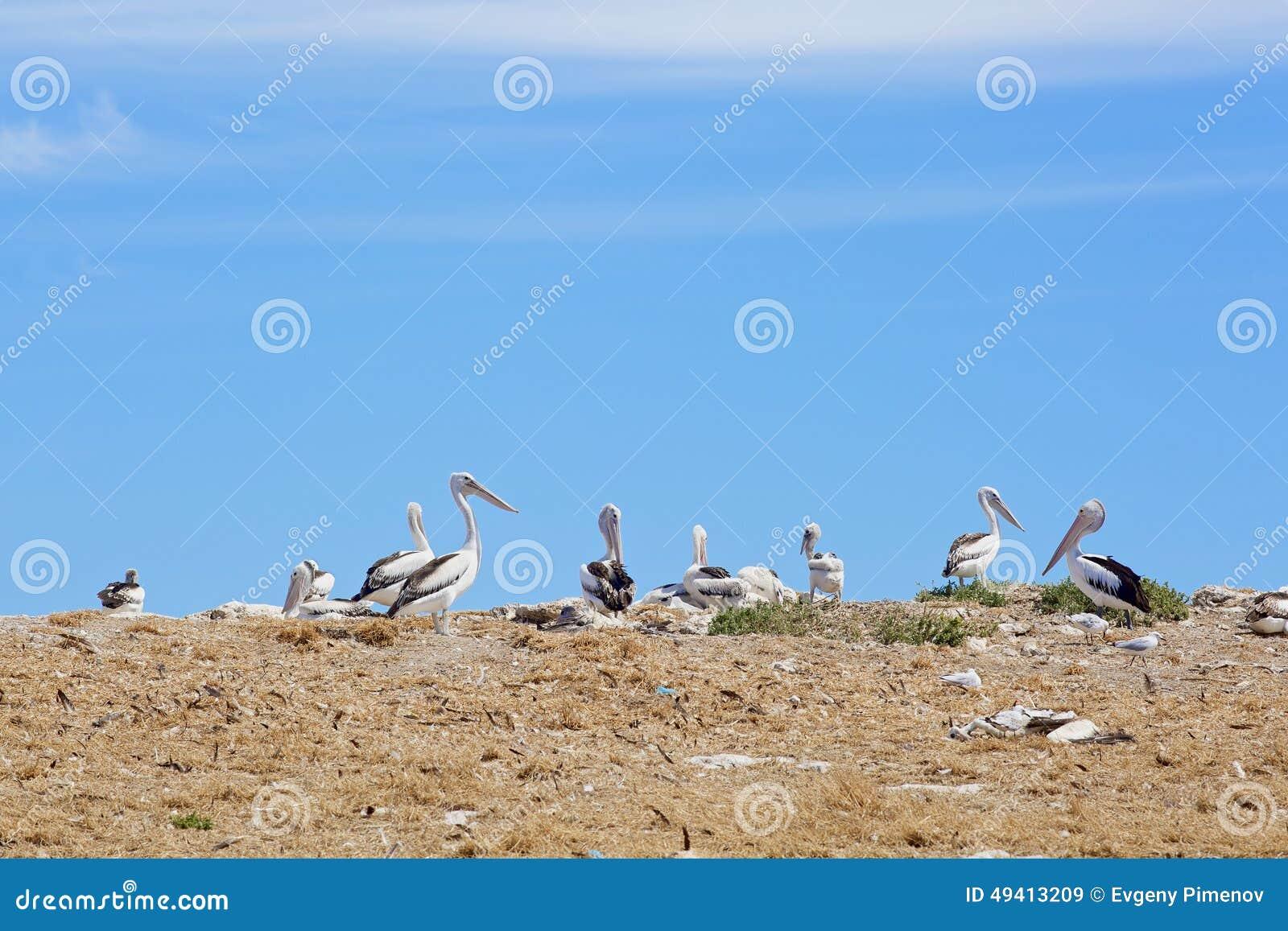 Download Pelikanschongebiet Und -Seevögel Stockbild - Bild von stehen, wasser: 49413209
