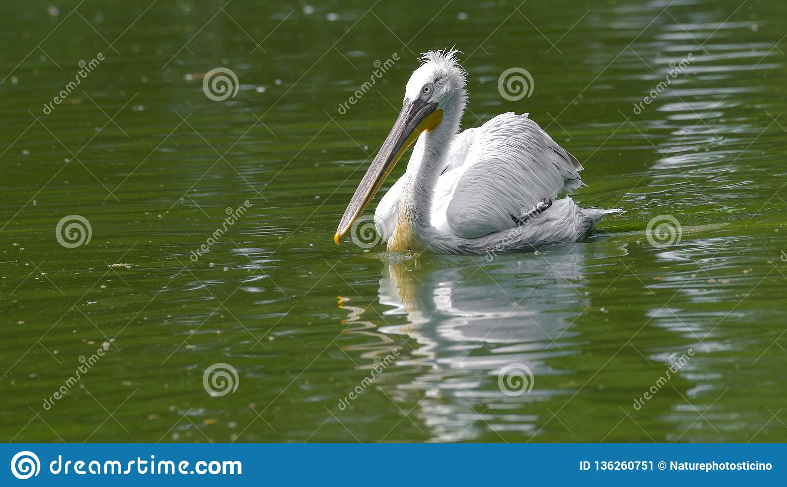 Pelikanschwimmen im Fluss